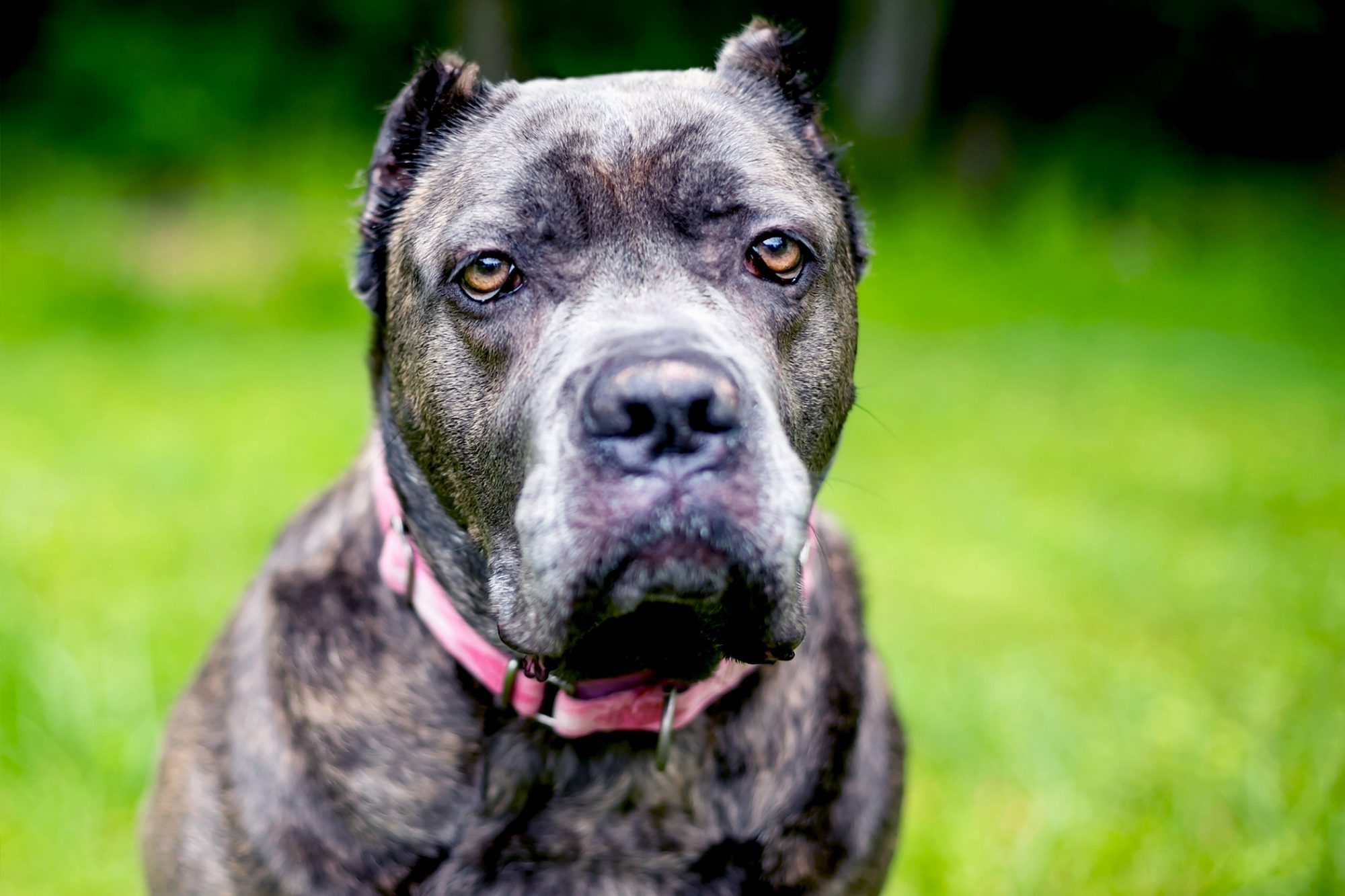 Adult cane corso wearing a pink collar portrait