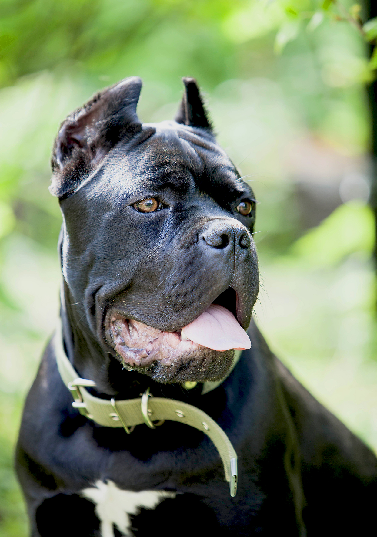 Close up portrait of black Cane Corso with green collar