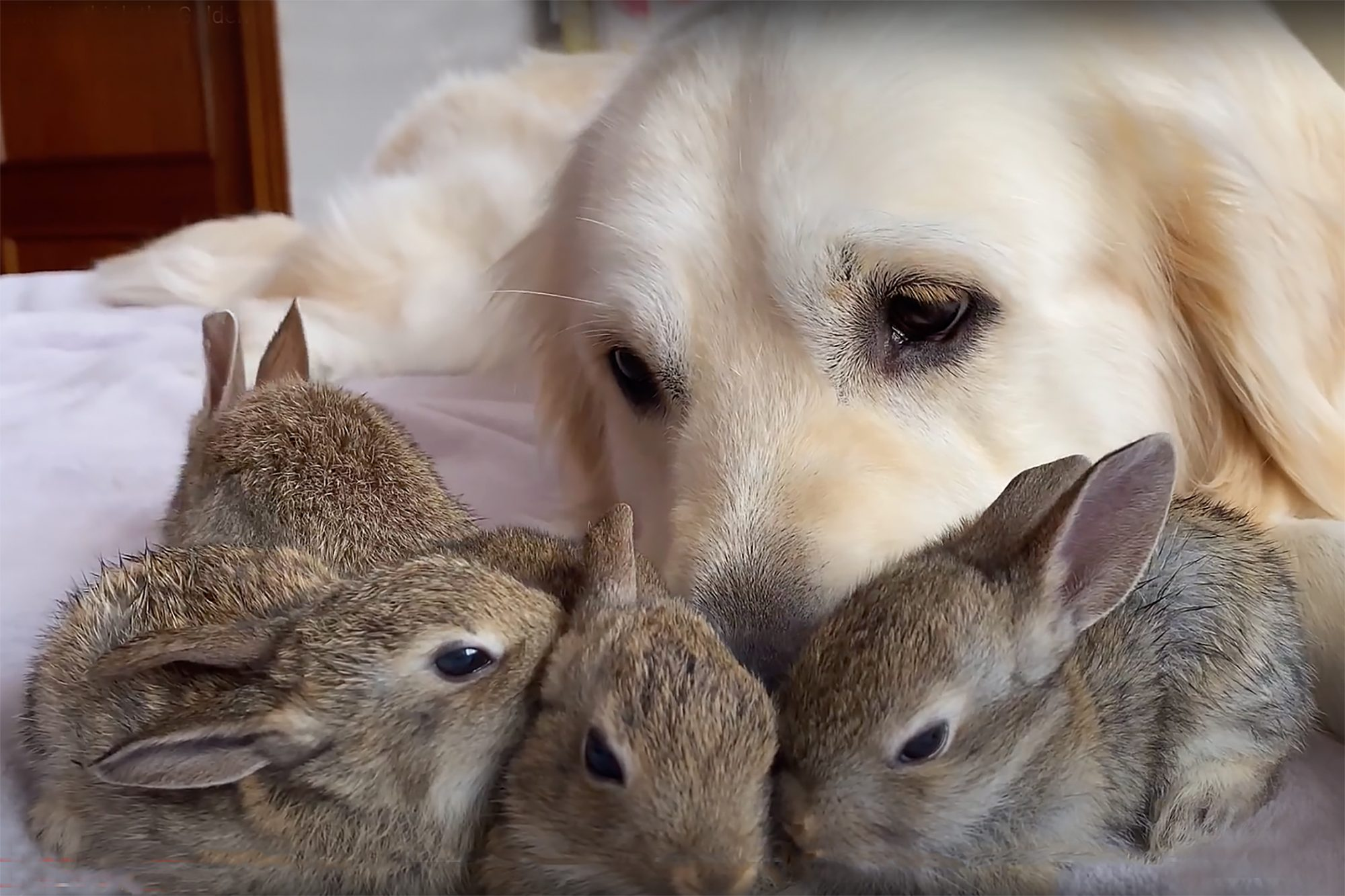 Adult yellow lab retriever nestles baby bunnies