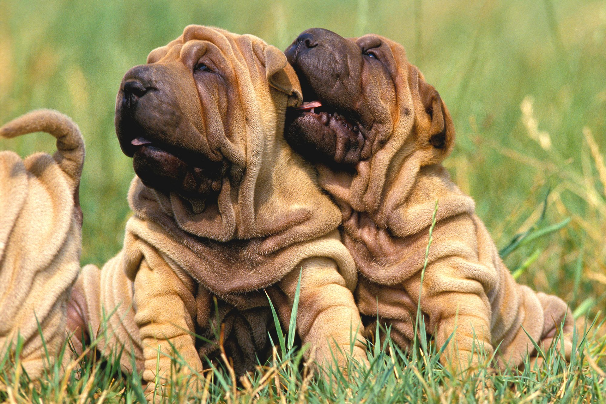 Two and a half shar-pei puppies cuddle in long grass