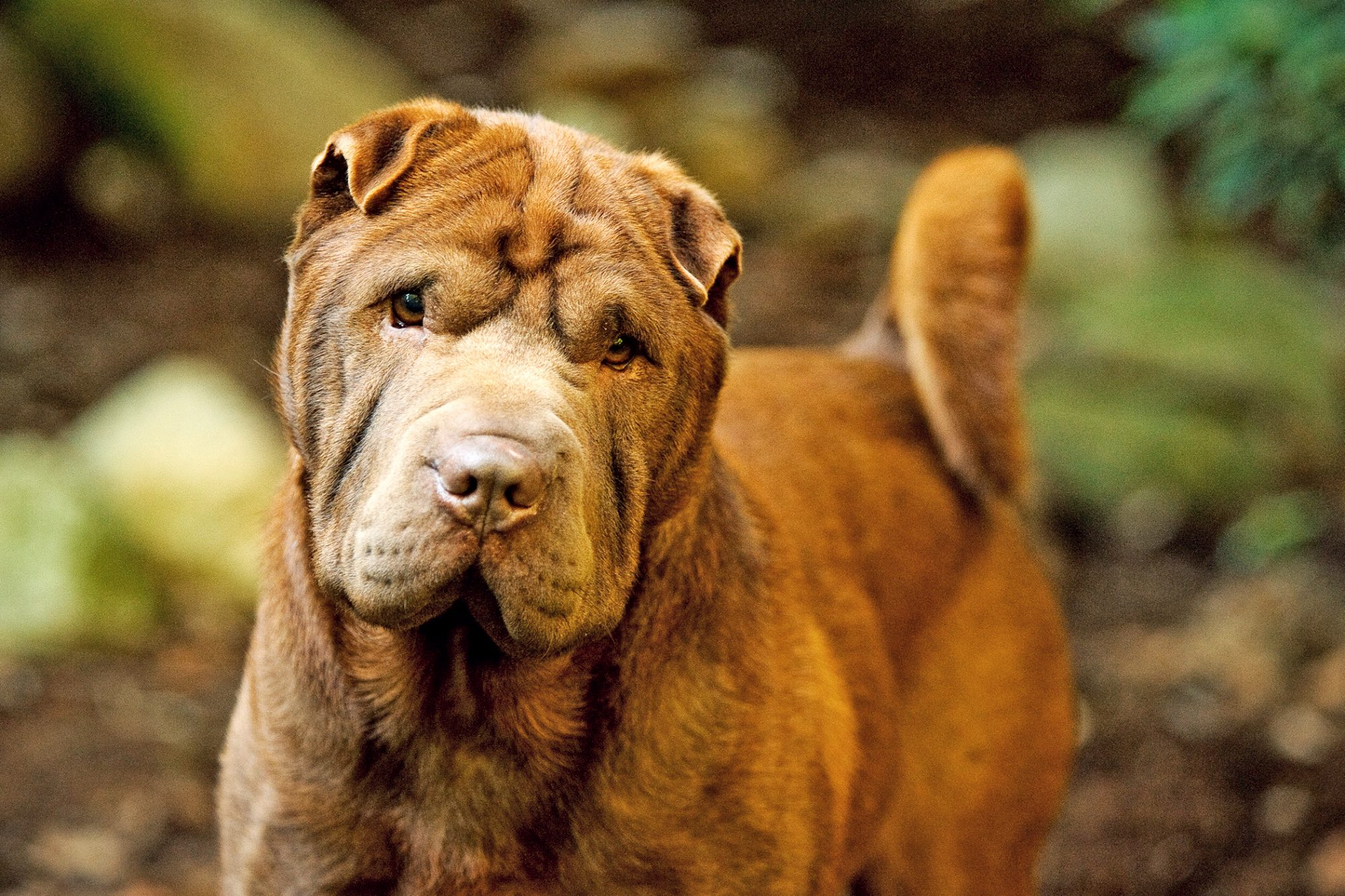 Tan shar-pei with curly tail portrait