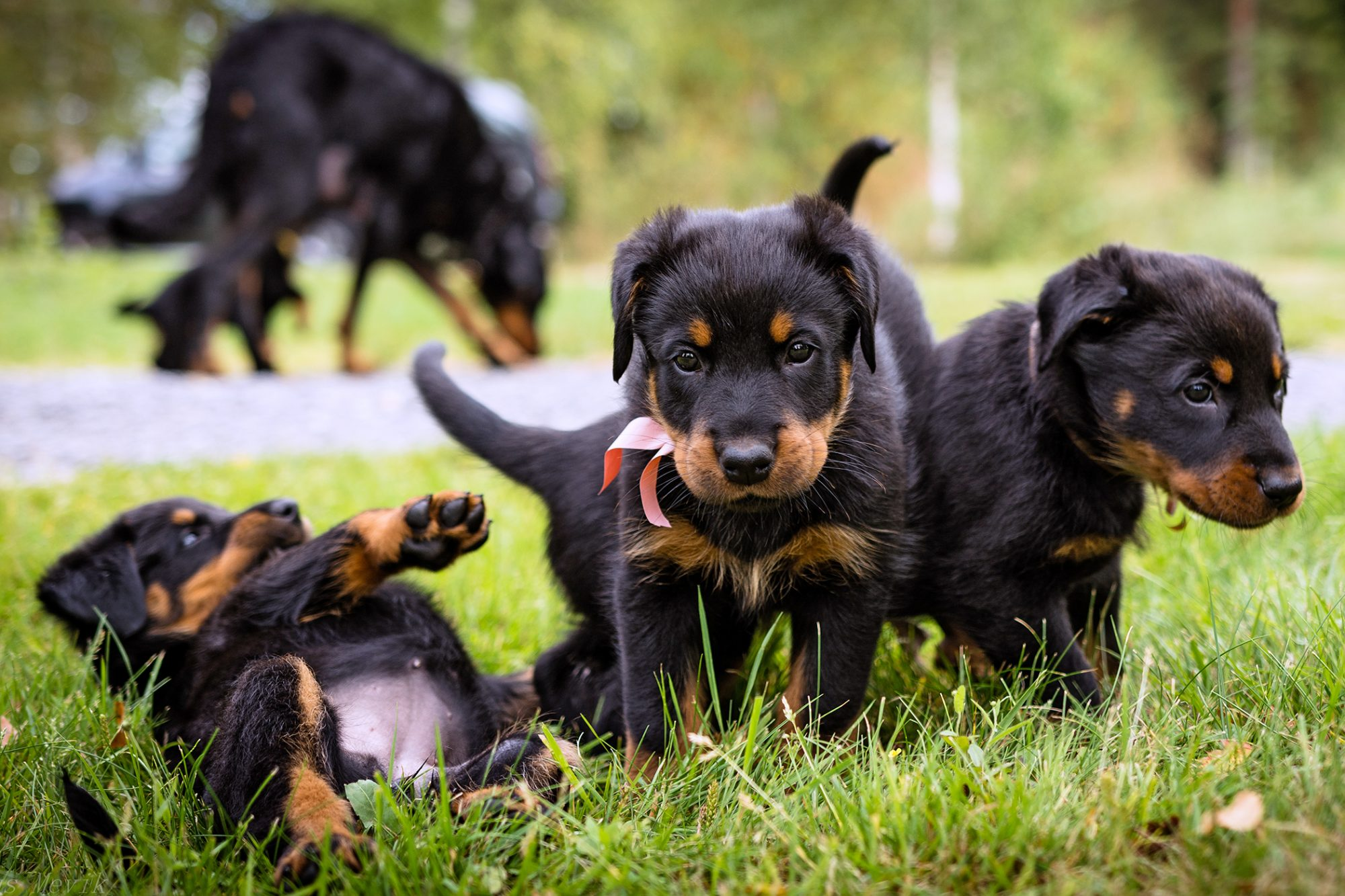 Beaucerpn puppies play together in grass