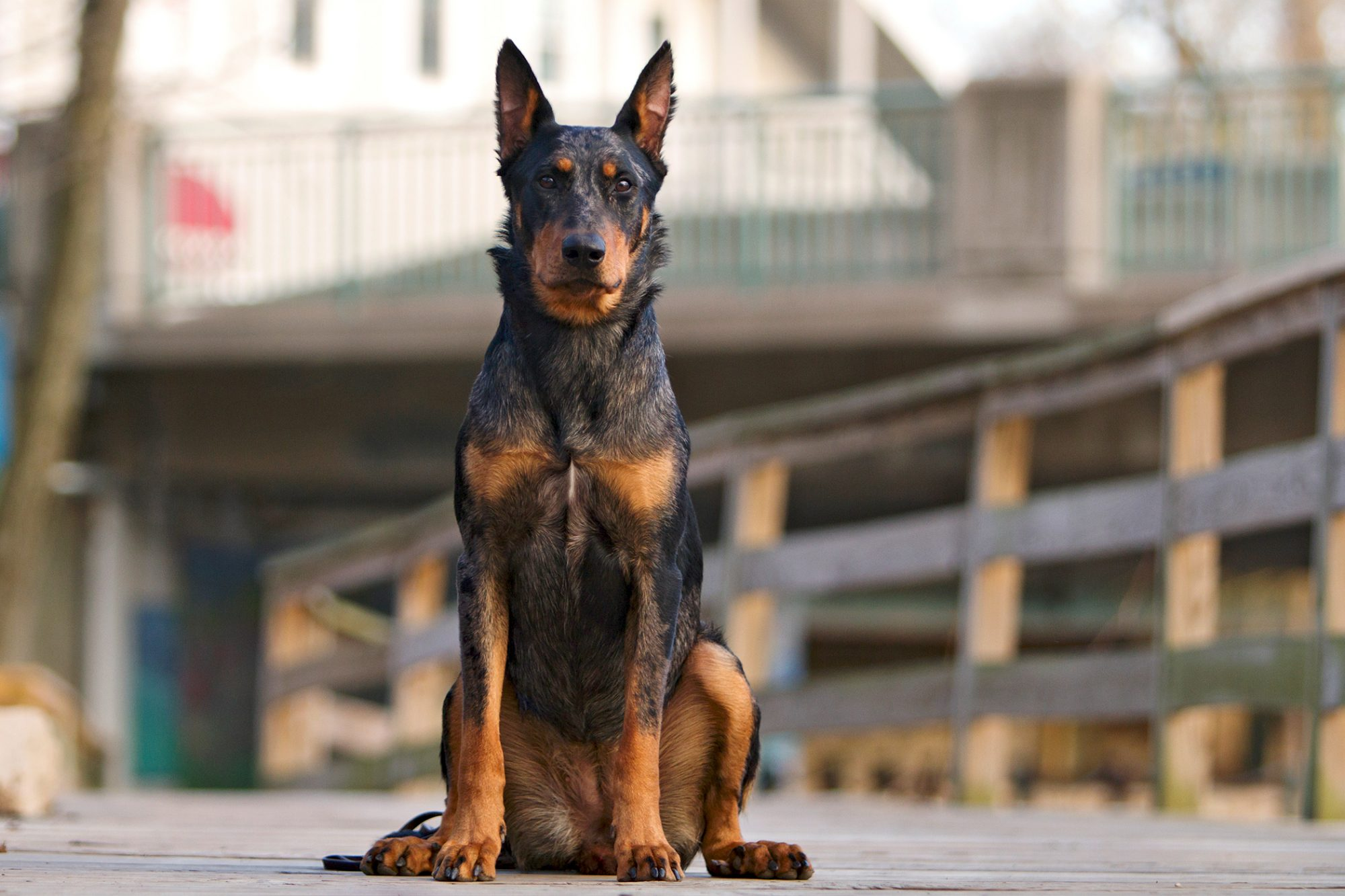 Adult Beauceron sits on dock