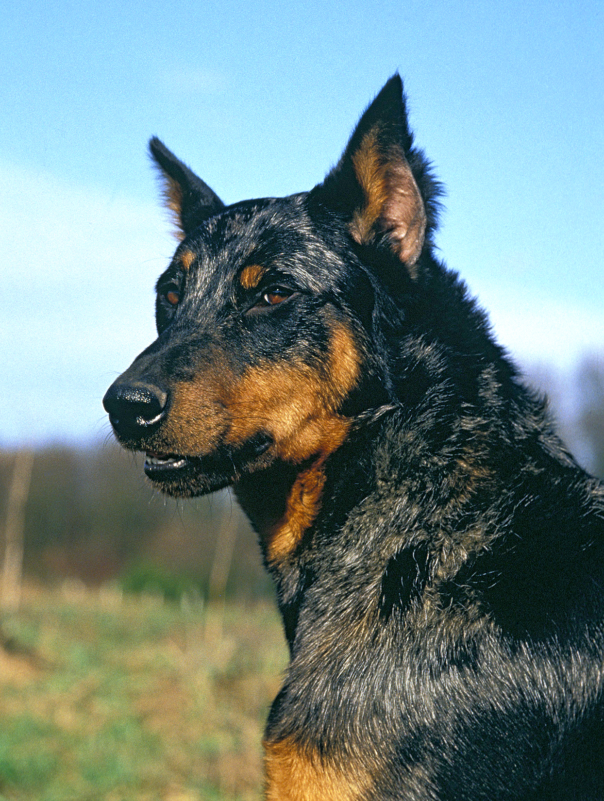Vertical profile shot of Beauceron dog