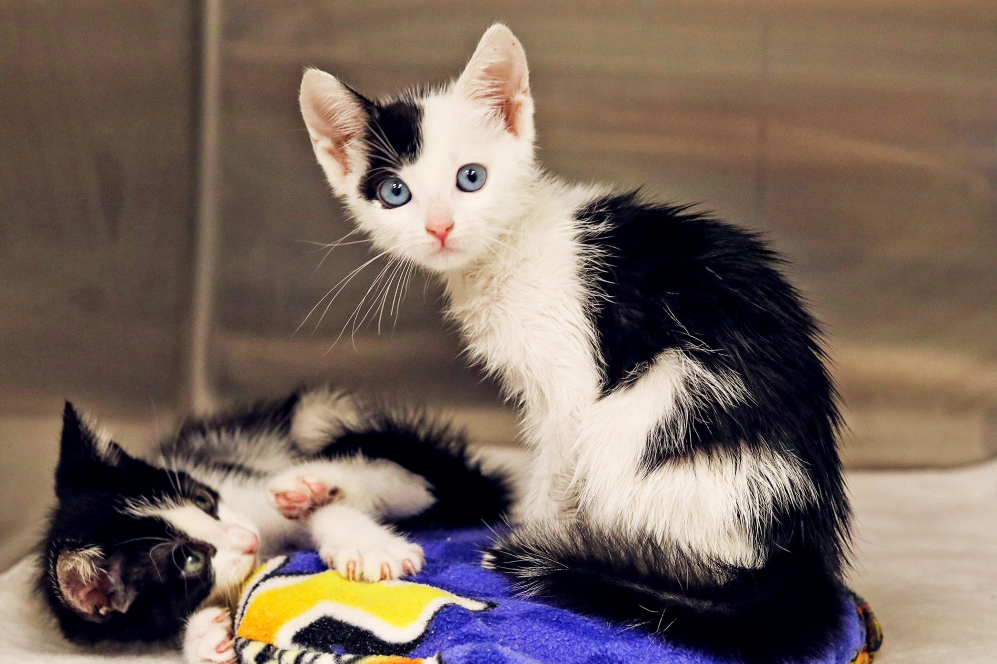Two black and white kittens with blue eyes