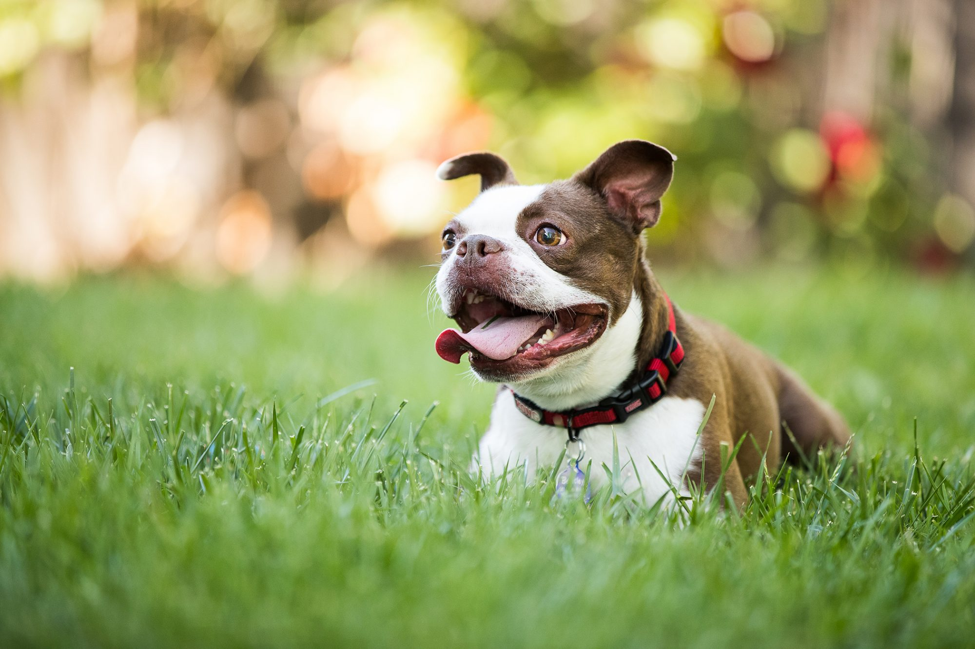 Happy Boston Terrier lays in grass on sunny day