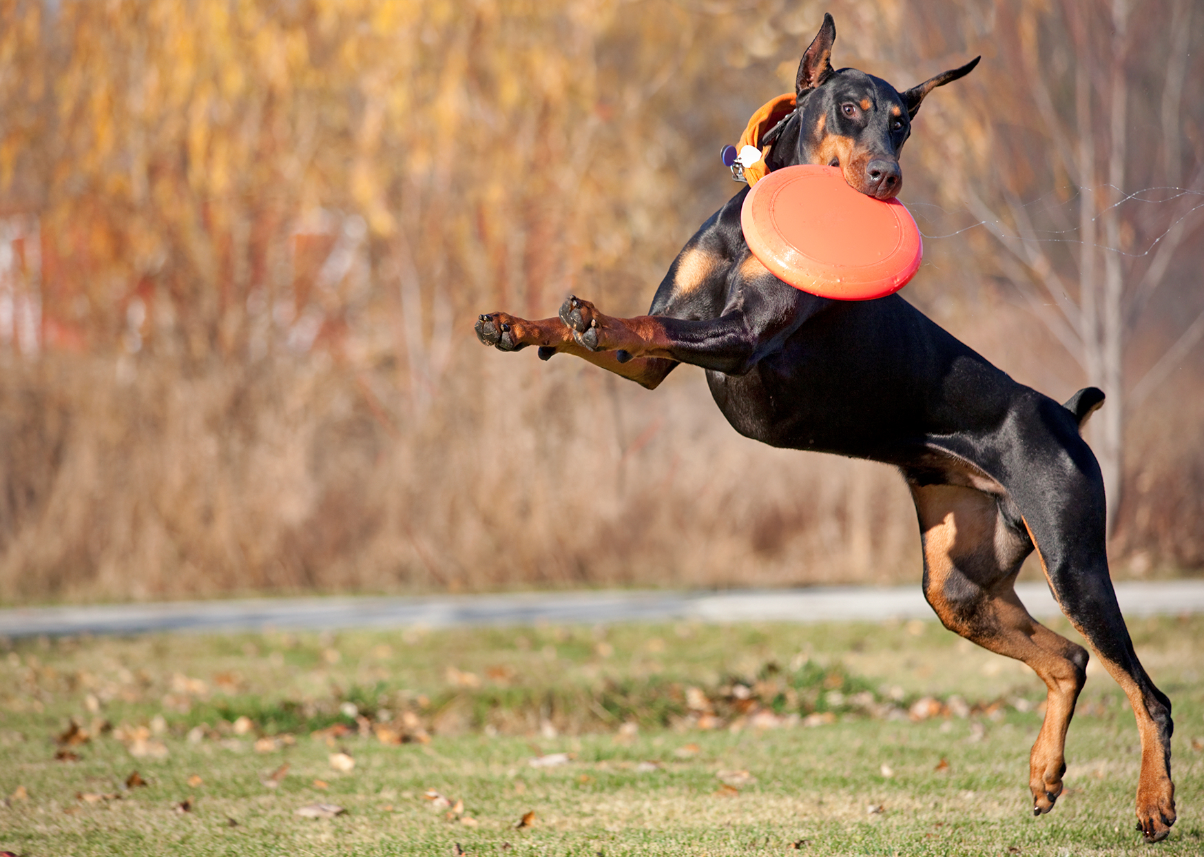 Adult Doberman Pinscher jumps up and catches orange frisbee in mouth