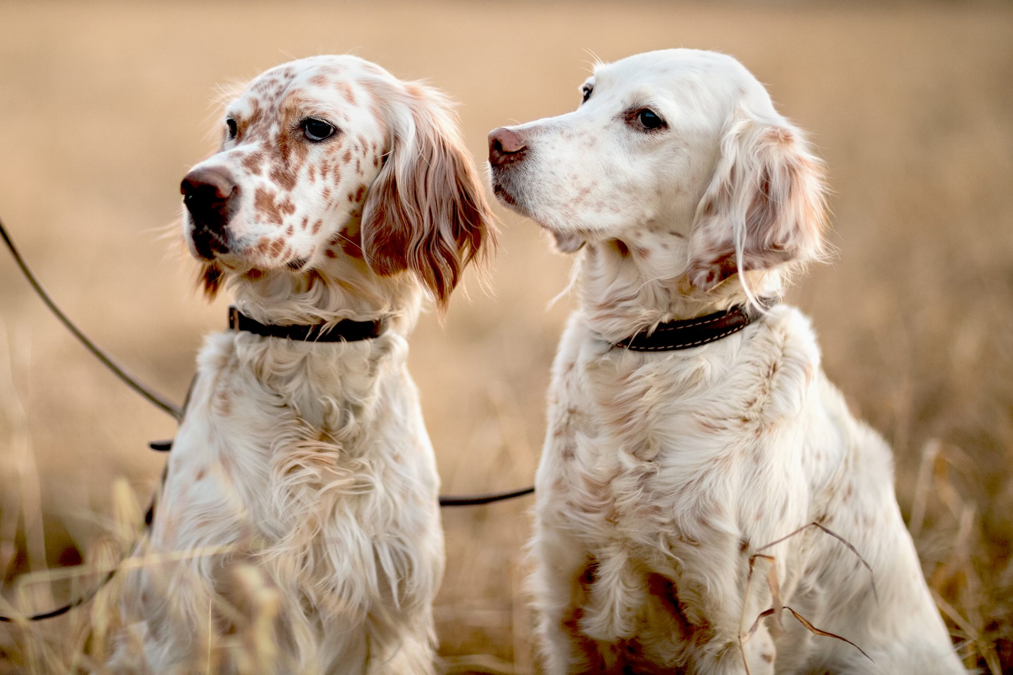 Two white-blond English Setters with red markings stand next to each other on leash