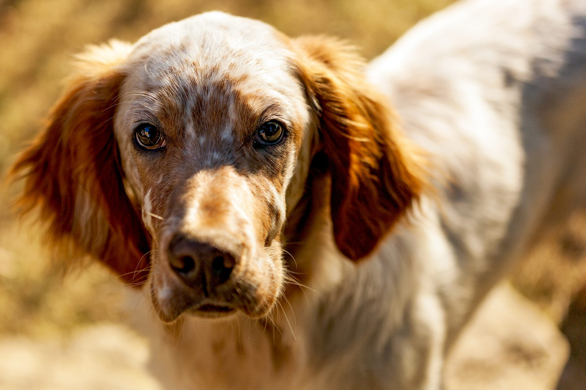 Brown and red English Setter portrait at Golden Hour