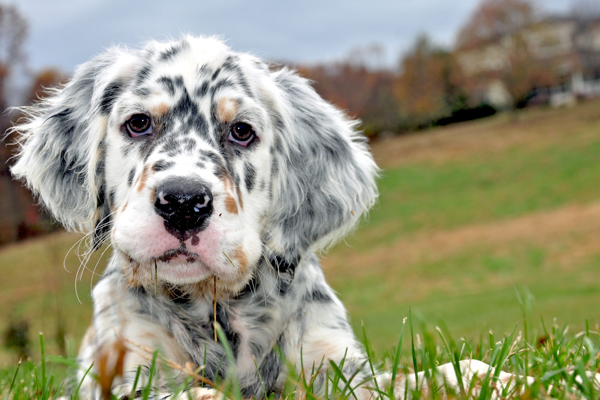 White, brown and grey spotted English Setter puppy lays in grass