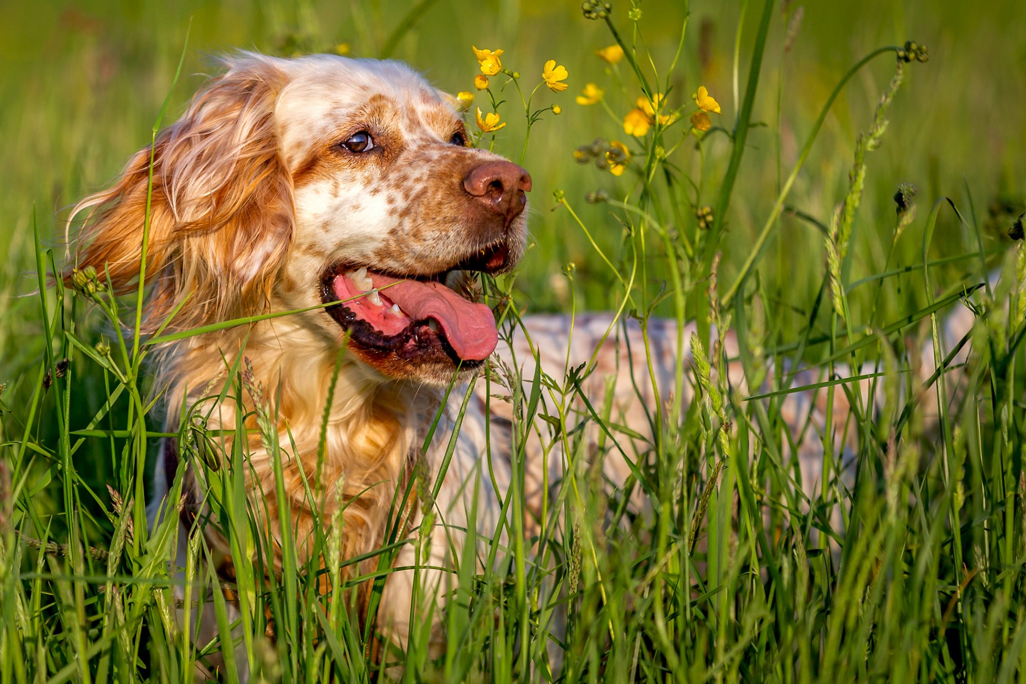 Strawberry blonde spotted English Setter lays in long grass on sunny day