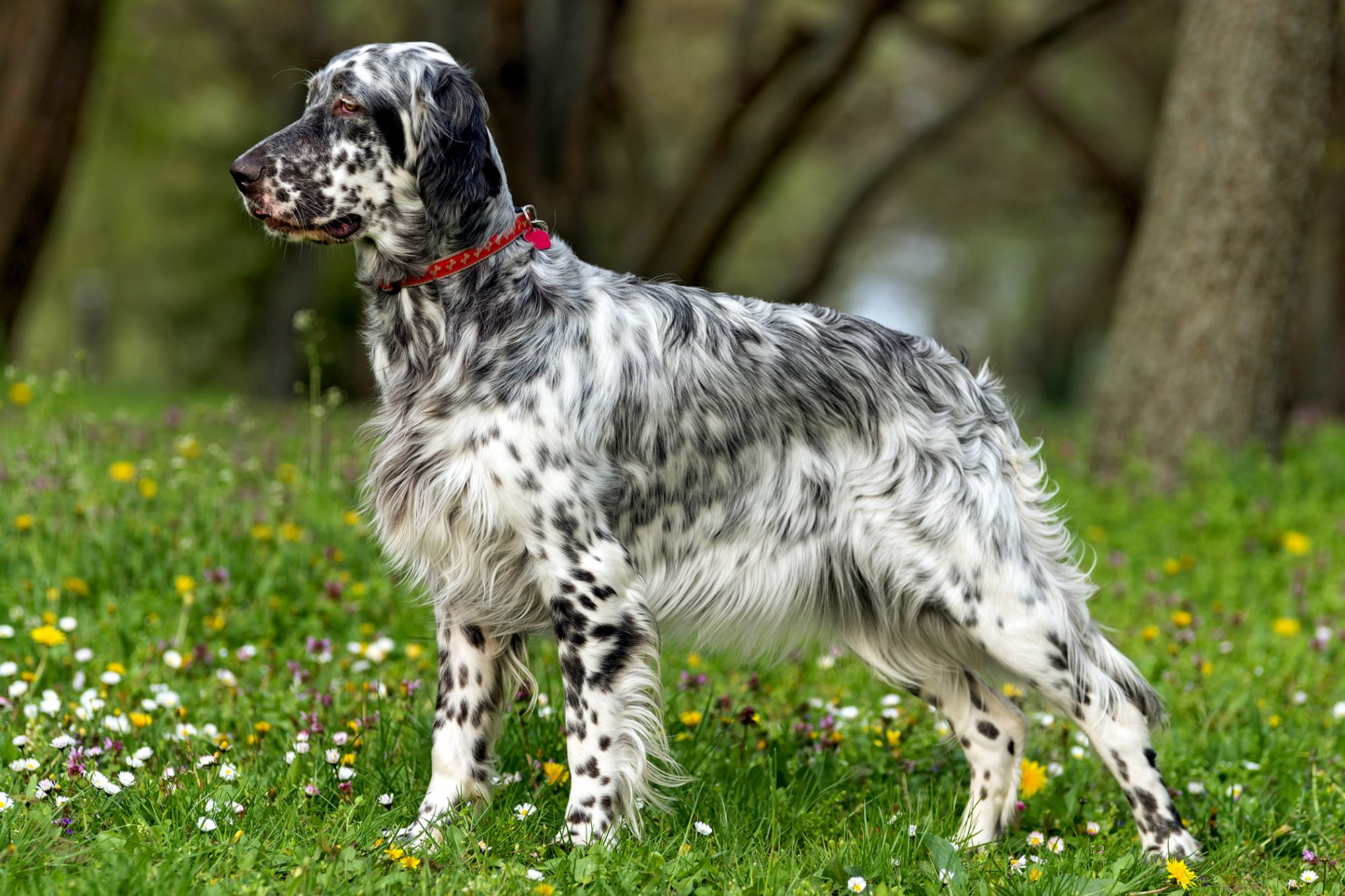 Black and white spotted English Setter stands in flower-covered grass