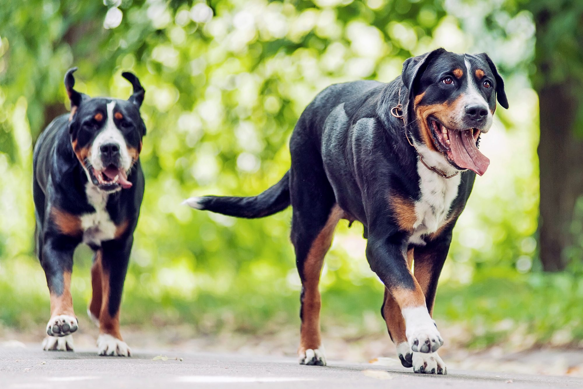 Two Greater Swiss Mountain dogs walk down paved street
