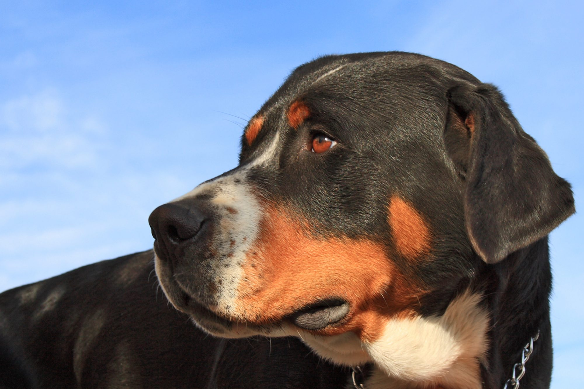 Adult Greater Swiss Mountain Dog portrait against blue sky