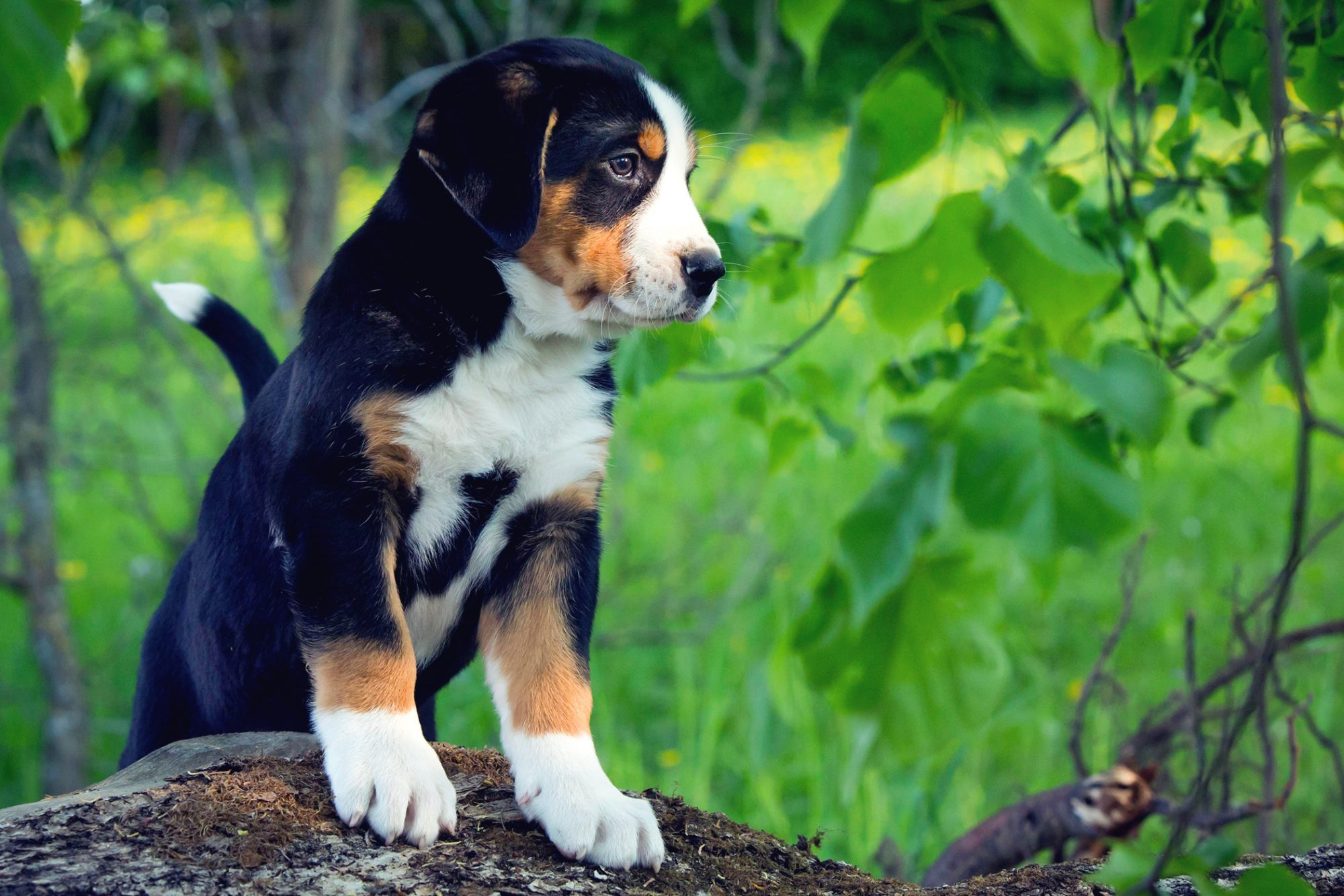 Greater Swiss Mountain Dog puppy stands on fallen log