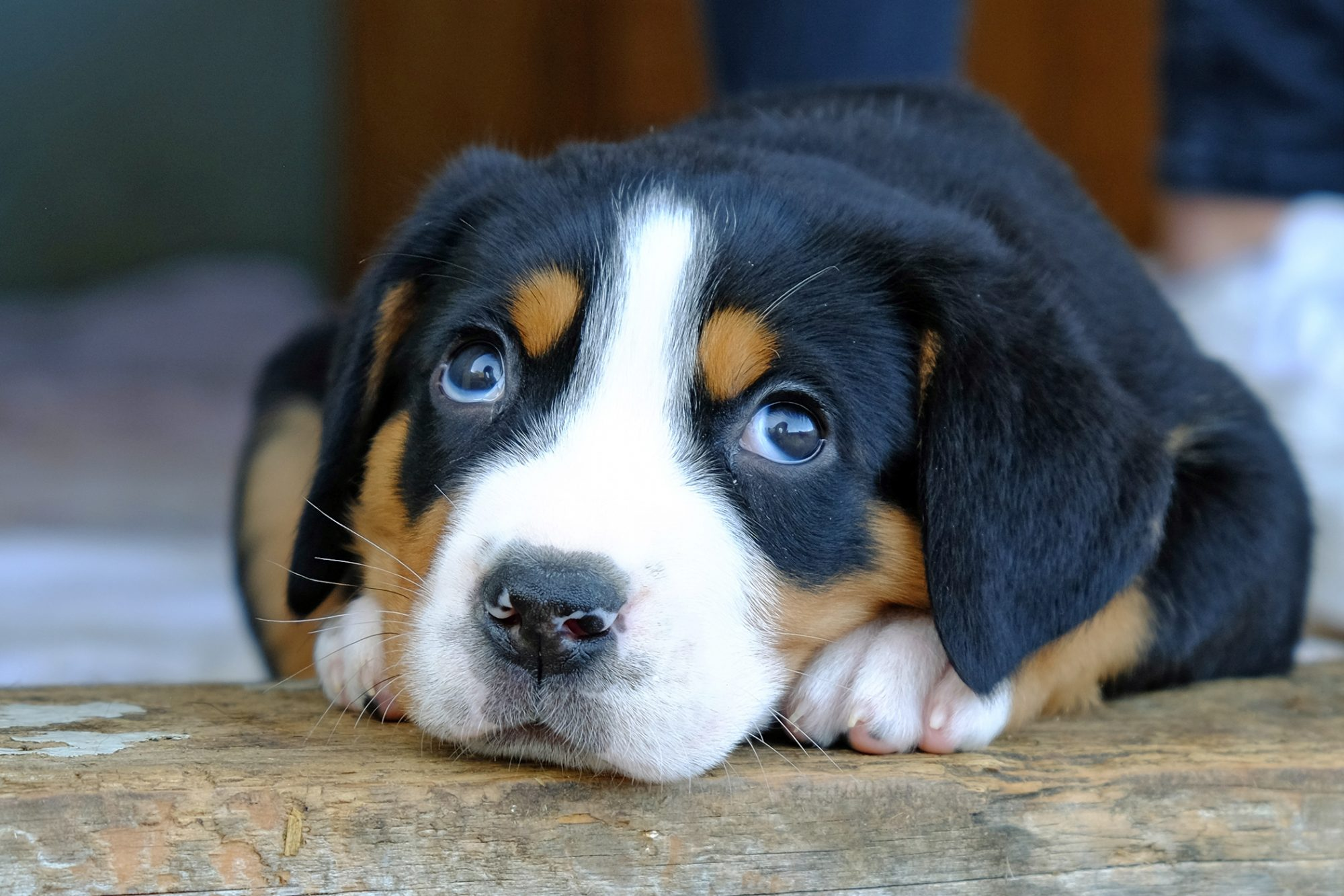 Greater Swiss Mountain Dog puppy looks up at photographer sweetly