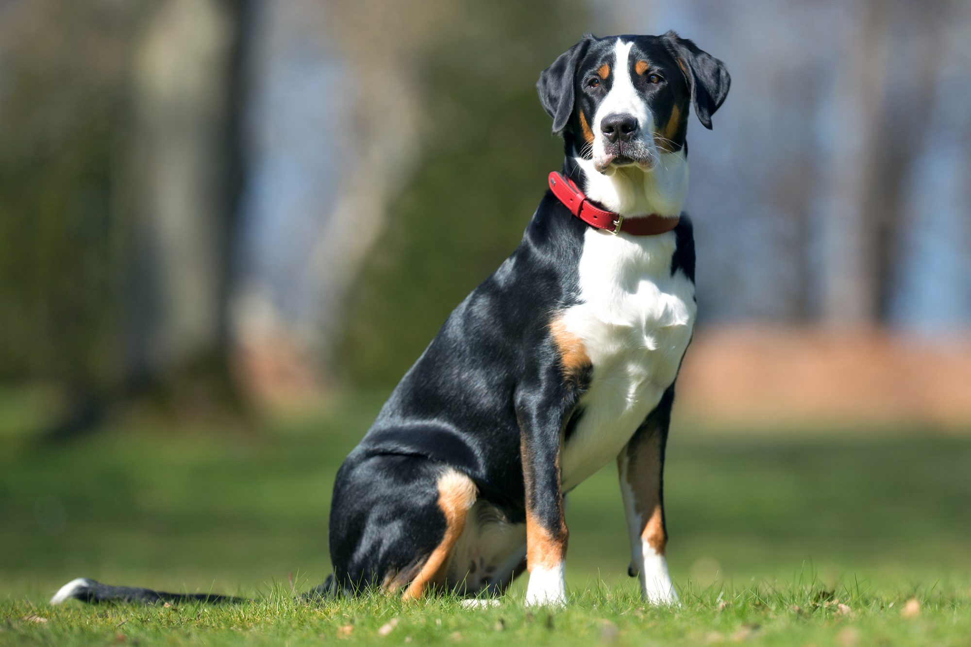 Greater Swiss Mountain Dog wears red collar and sits in grassy on sunny day