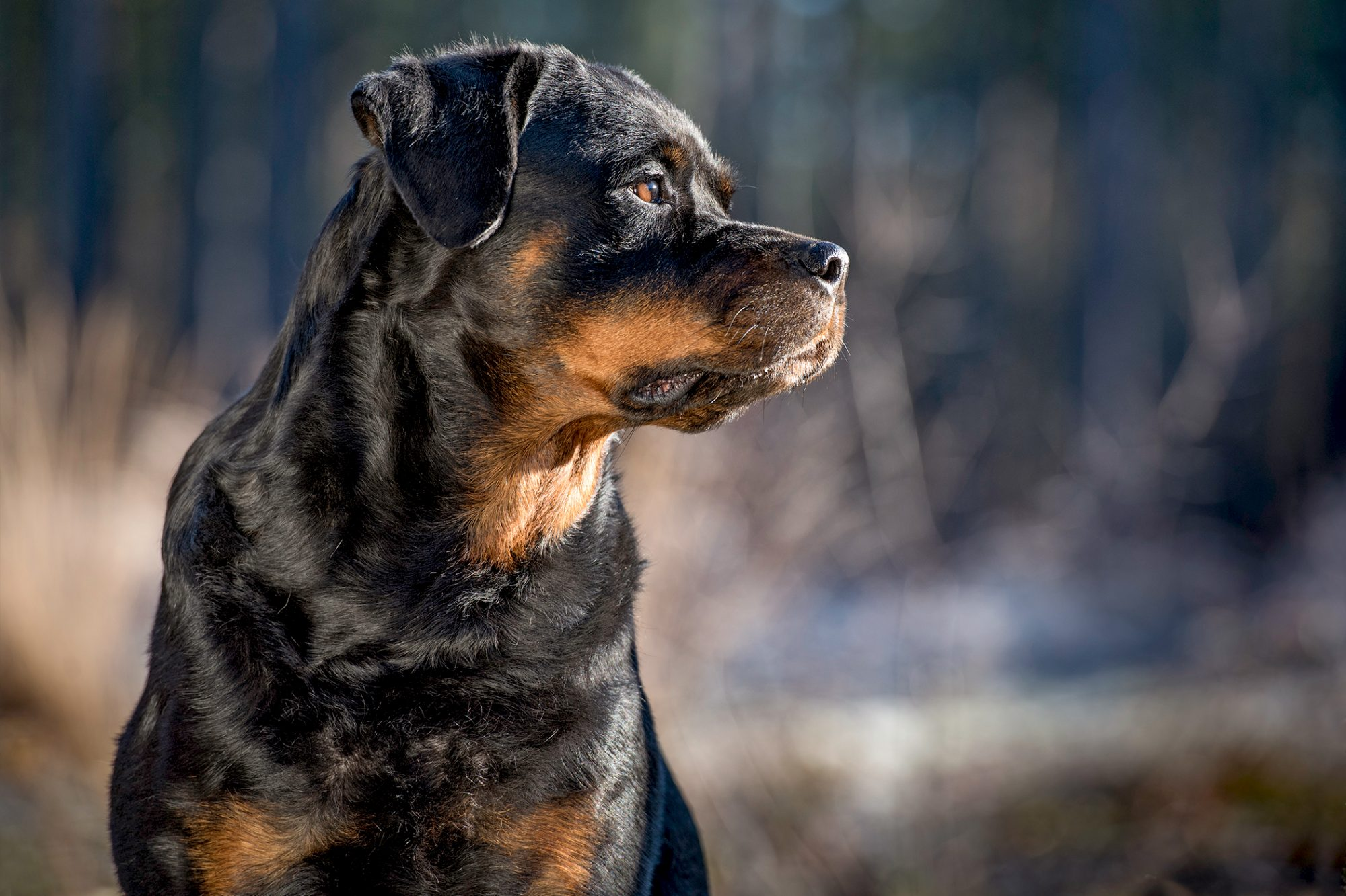 Profile shot of adult rottweiler