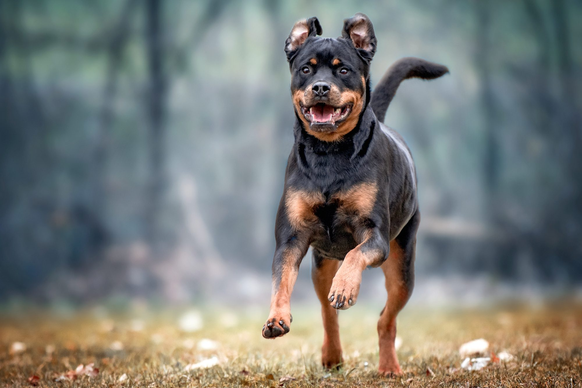 Adult Rottweiler happily runs through grass on a cloudy day