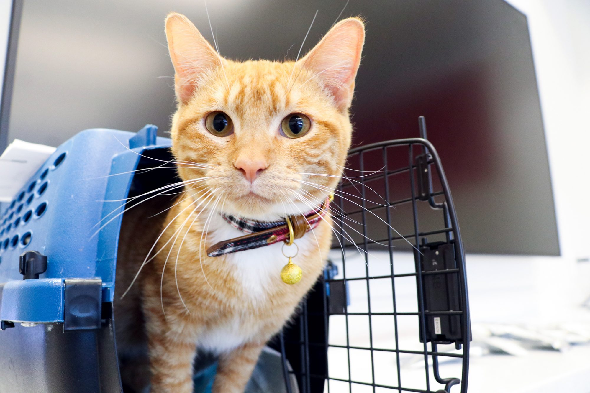 Orange tabby cat pokes head out of cat carrier to greet camera