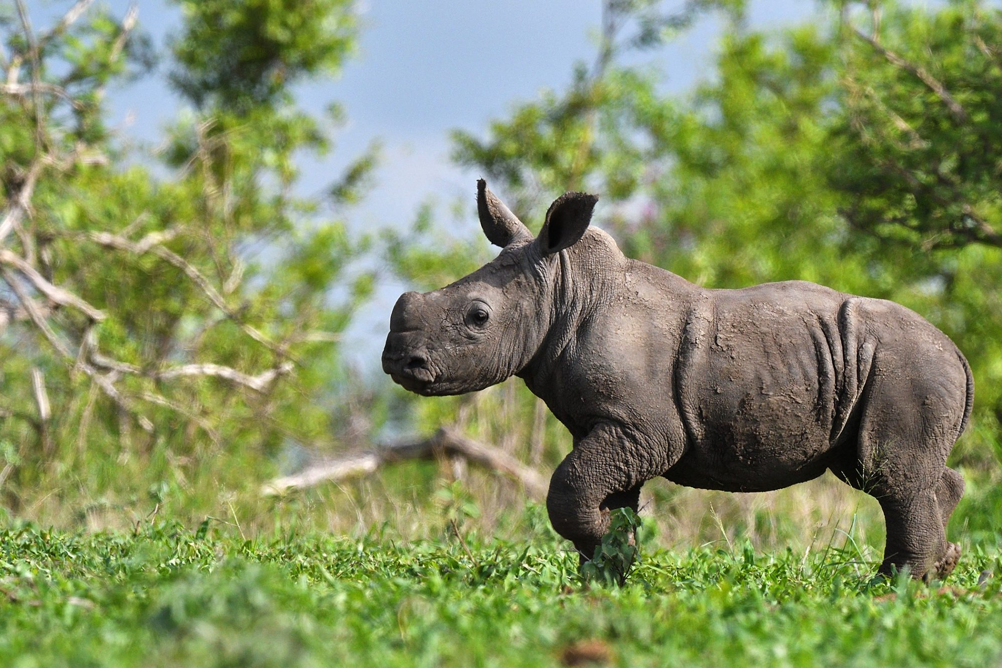 Side profile of baby rhino walking through grass