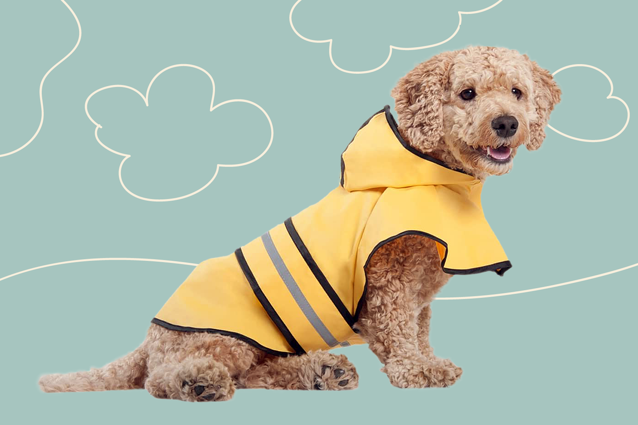 Golden curly haired dog with yellow rain coat