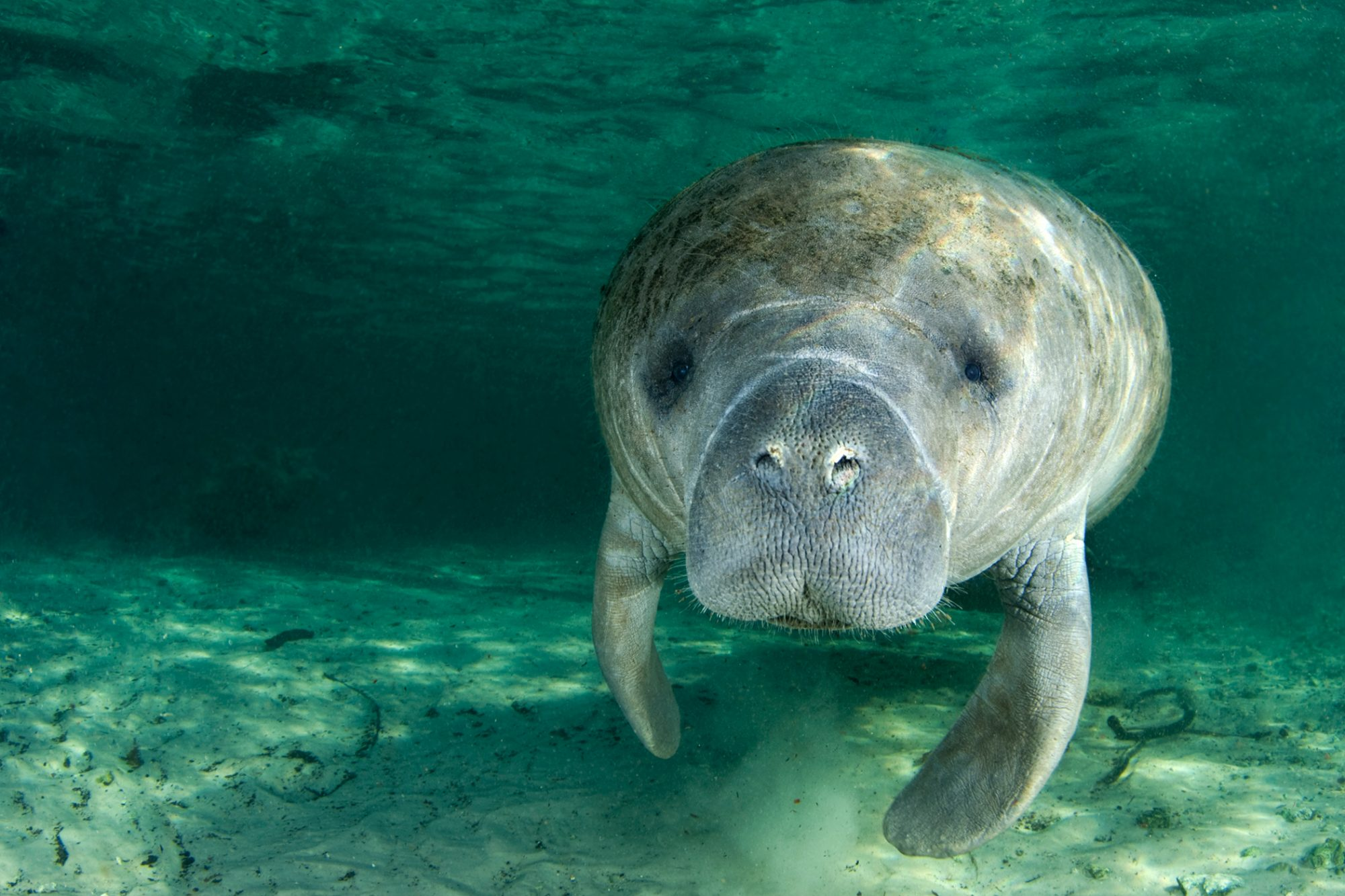 Manatee swims through water near sandy floor