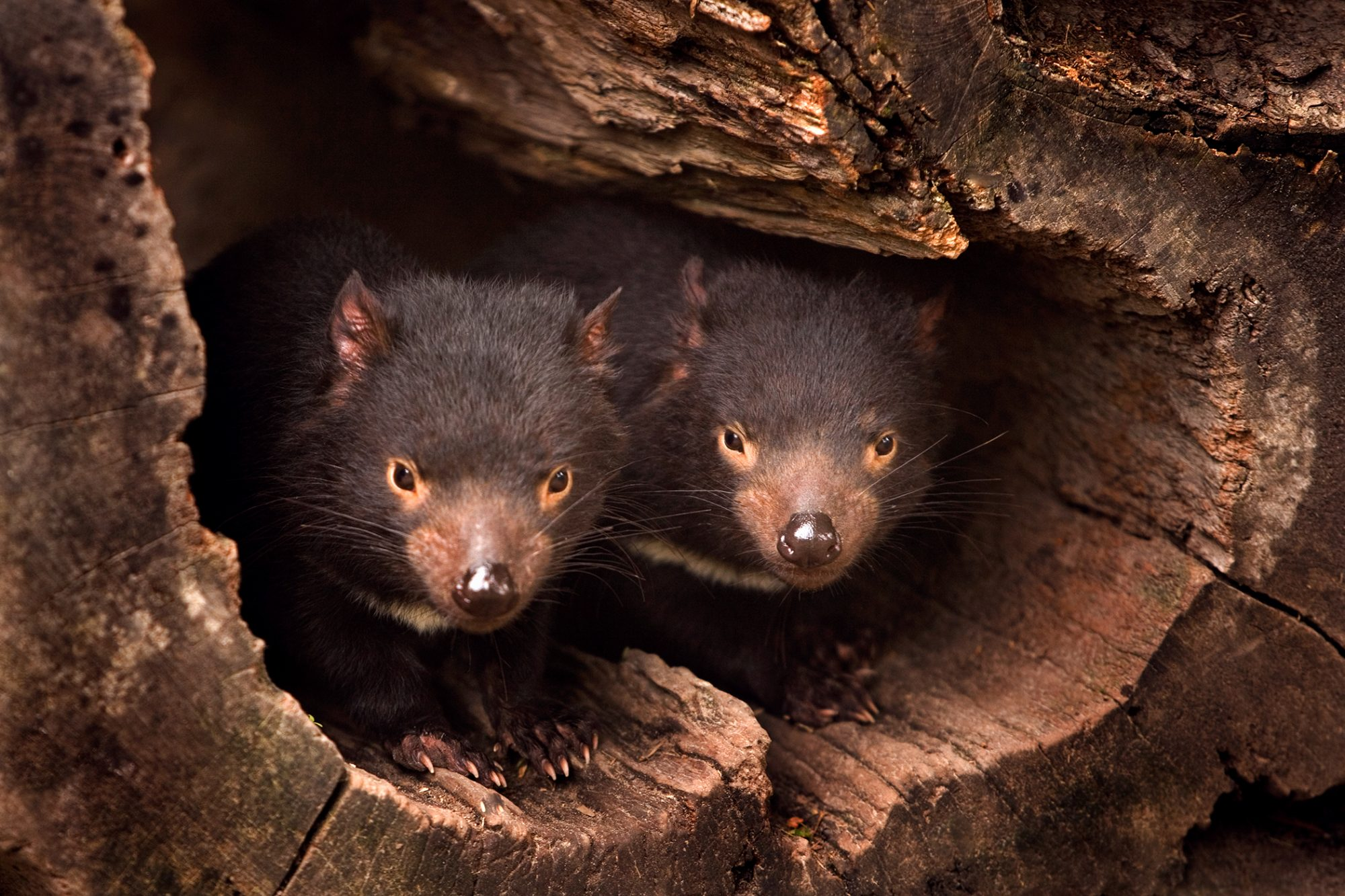 Two tasmanian devils stick head out of log