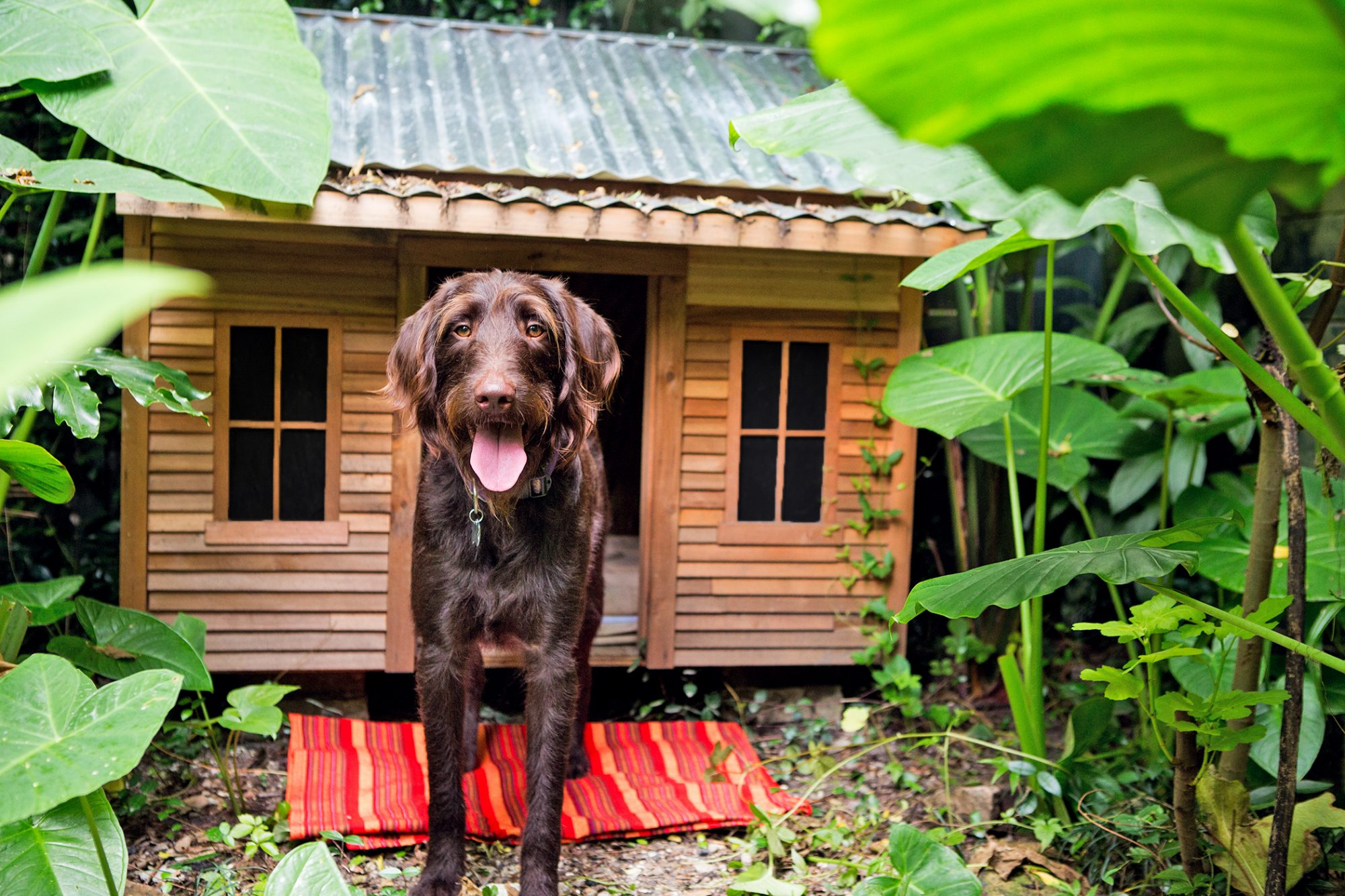 Beautiful dog standing in front a dog house with windows