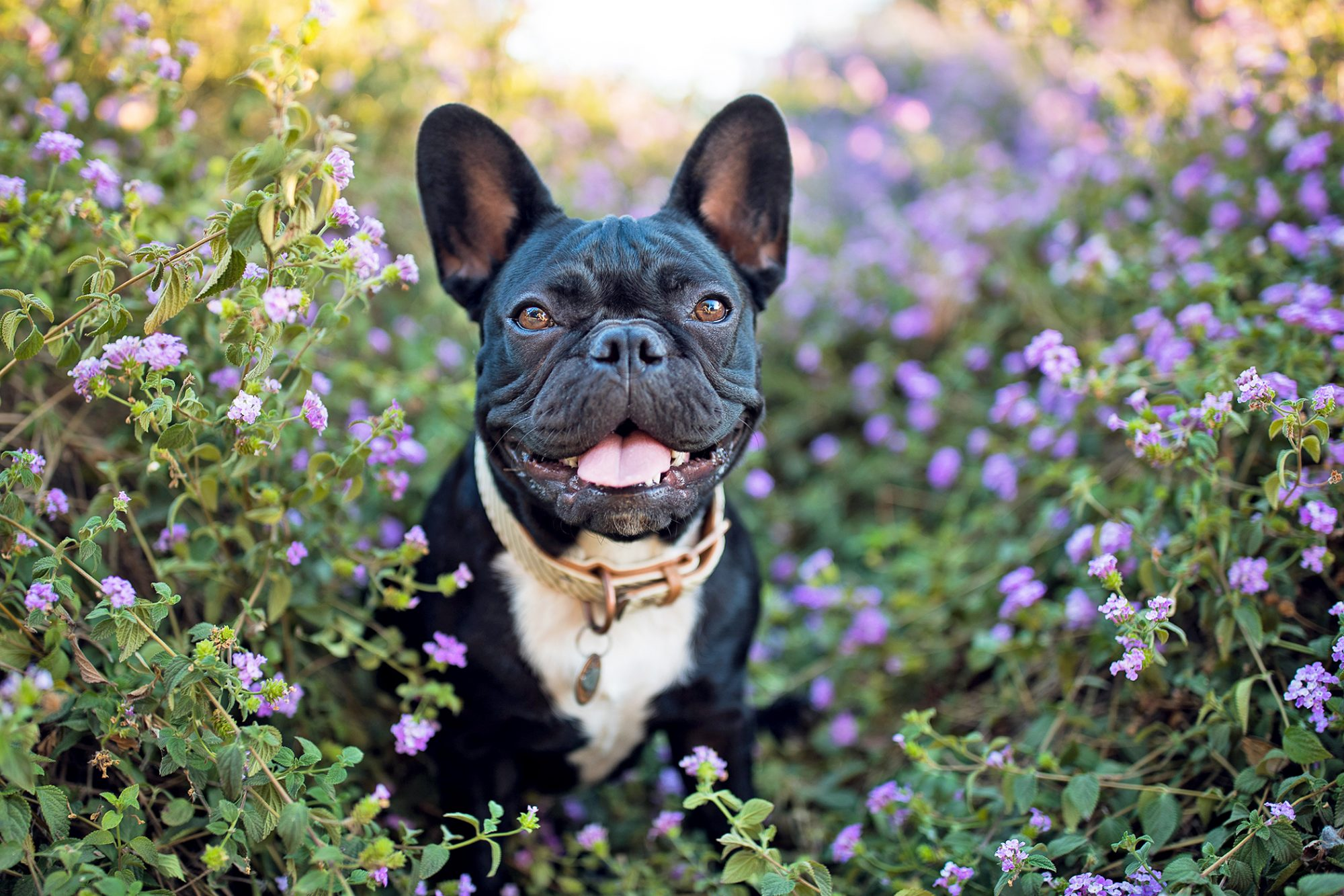 Black and white French Bulldog sitting in a garden of purple flowers