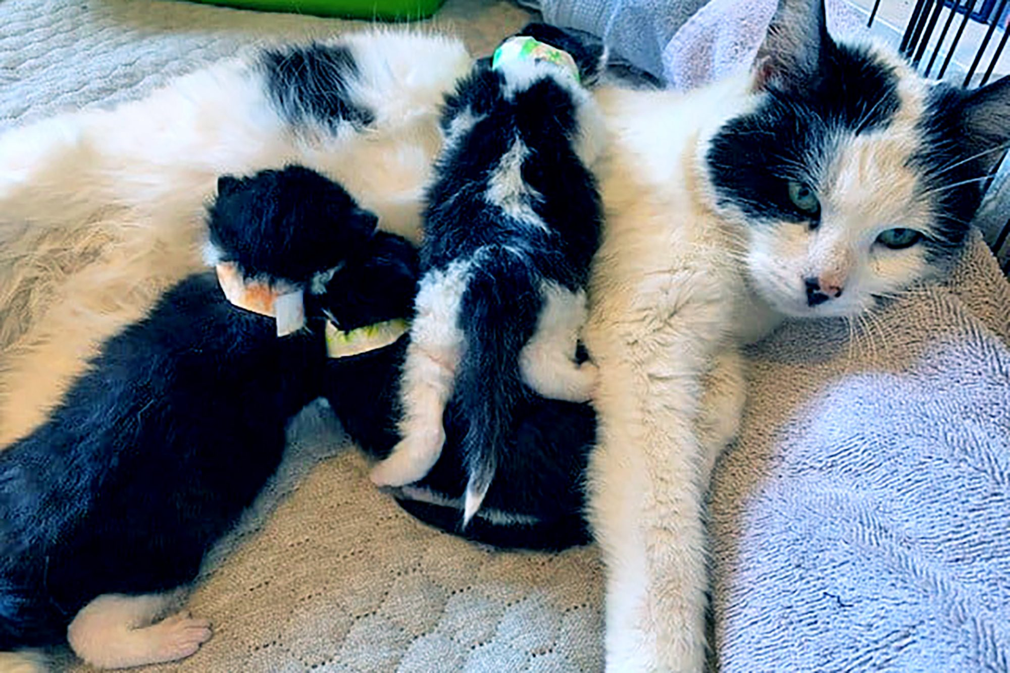 Black and white mama cat snuggling with her kittens