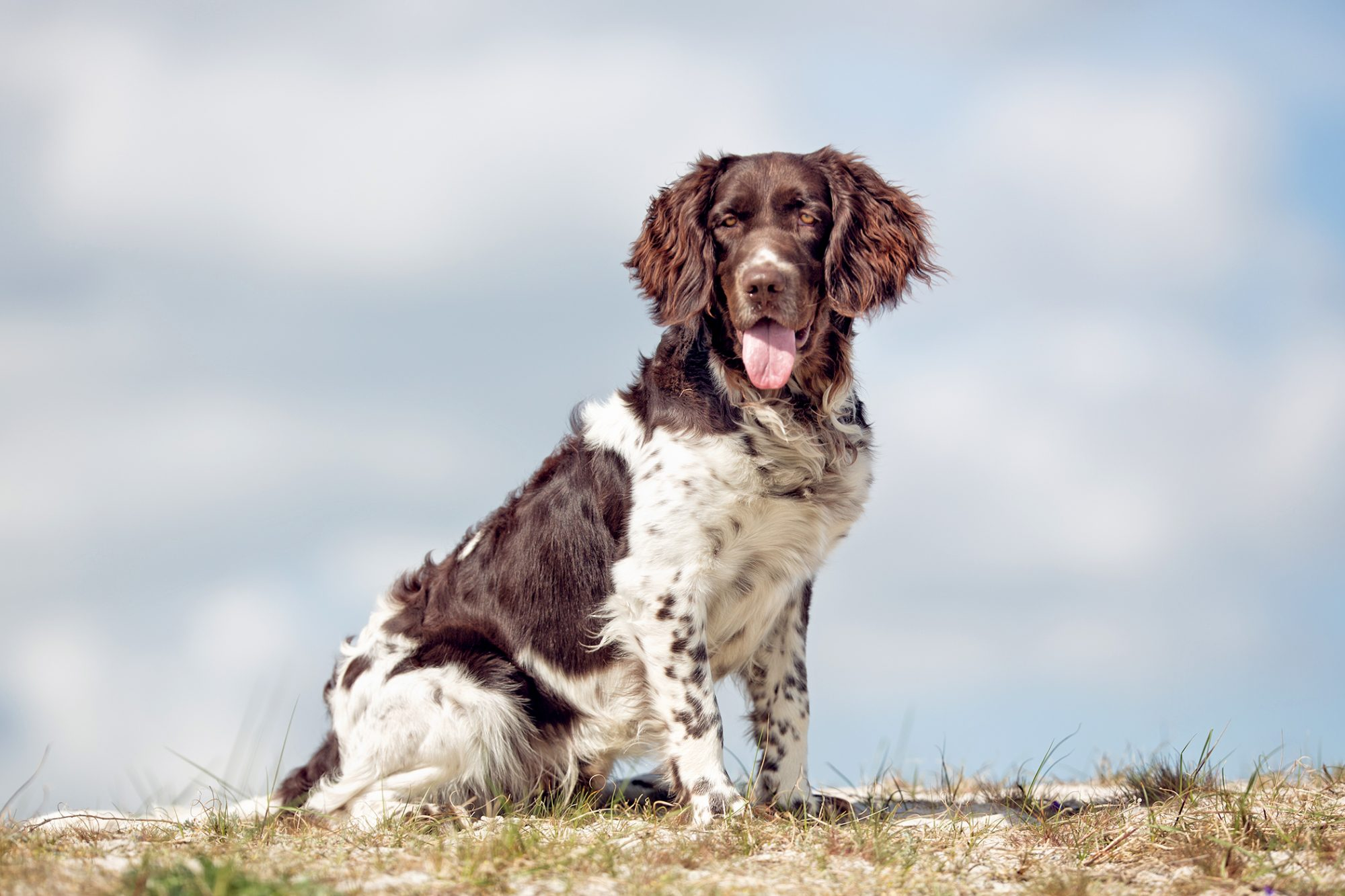 Brown and white Munsterlander dog happily sits on hilltop against overcast sky, shot from below