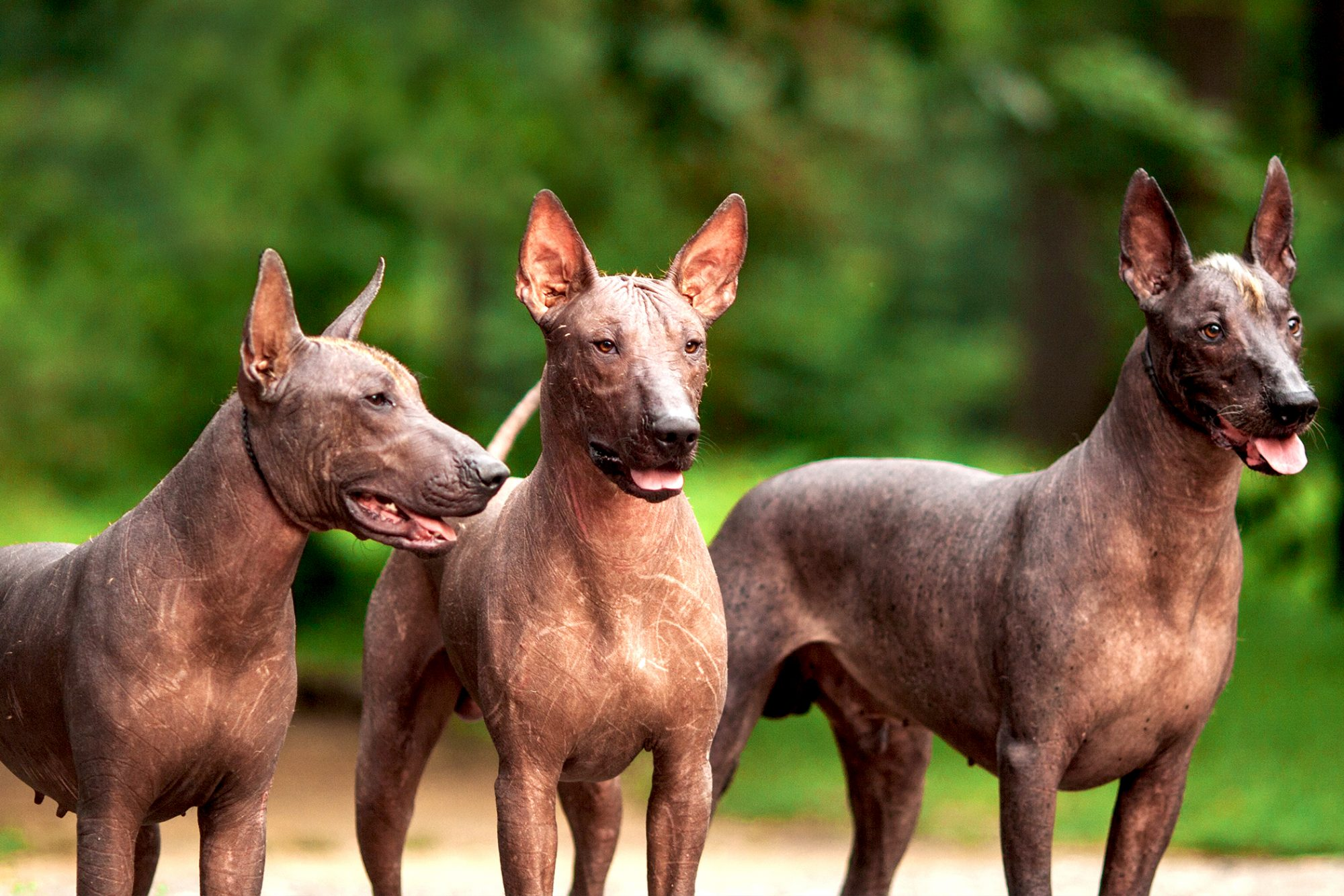 Horizontal photo of three Mexican hairless adult dogs outdoors