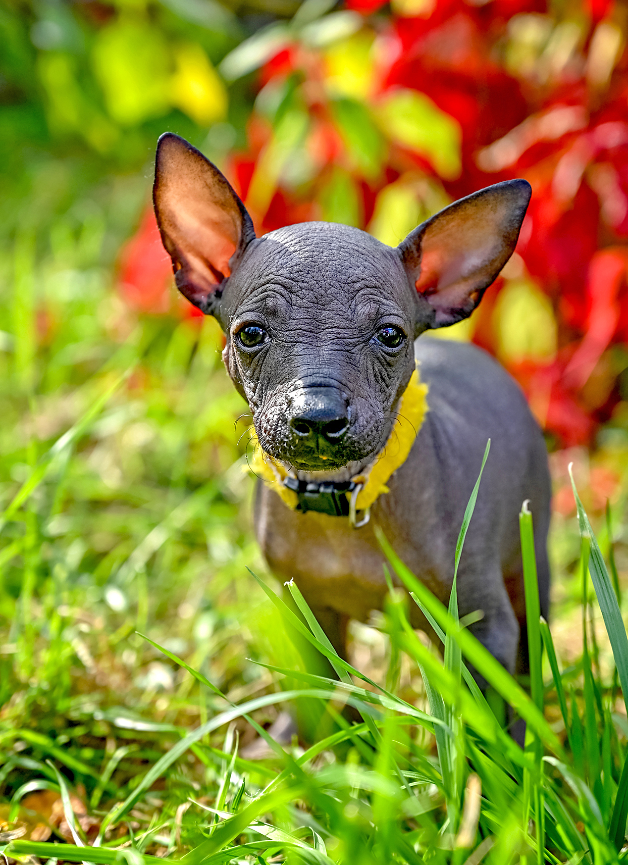 Wrinkly cute Mexican Hairless puppy stands in grass with colorful red background