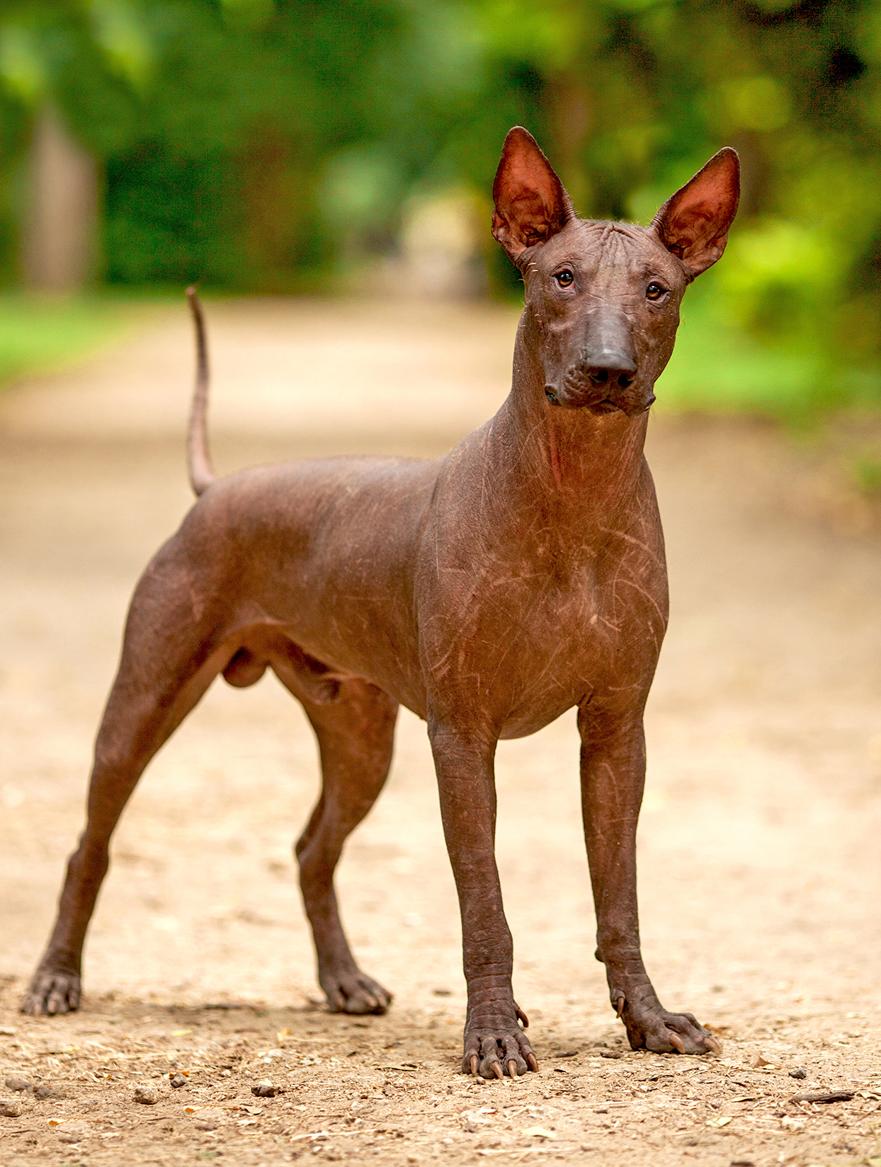 Vertical full shot of adult Mexican Hairless dog standing on dirt