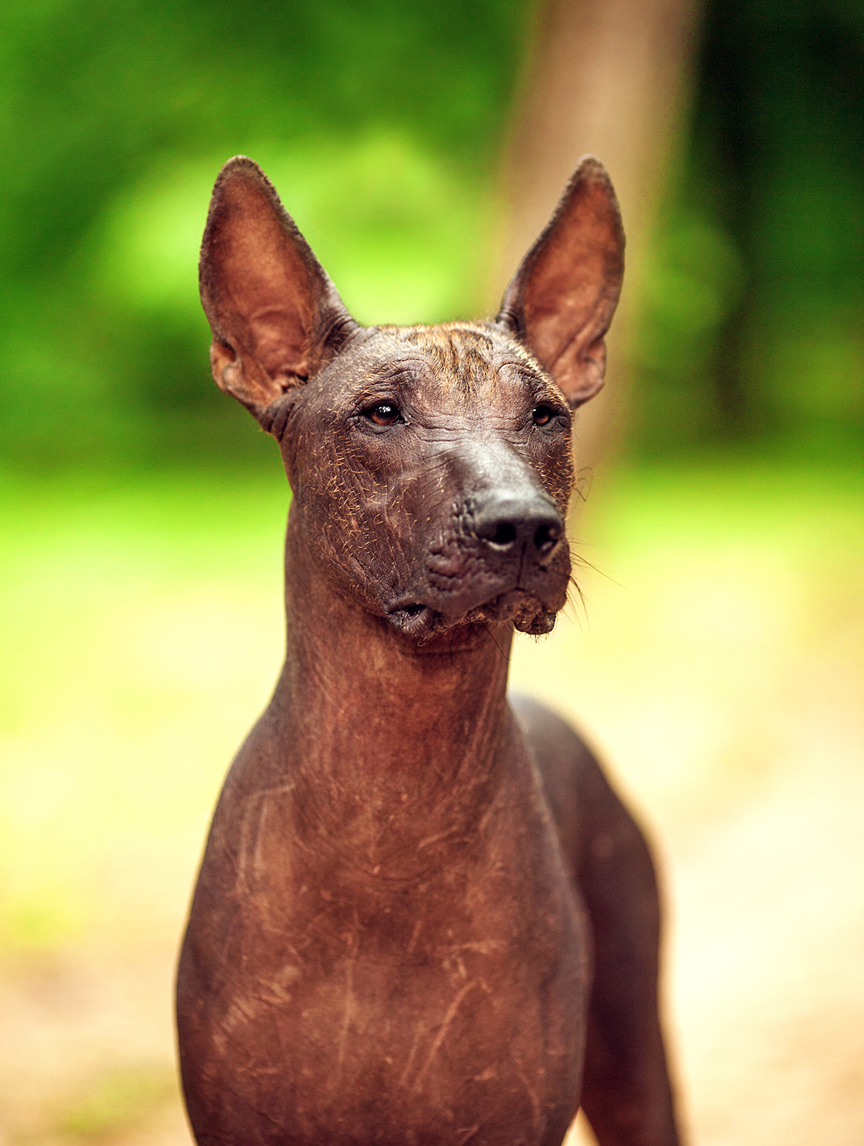 Vertical portrait of Mexican hairless dog