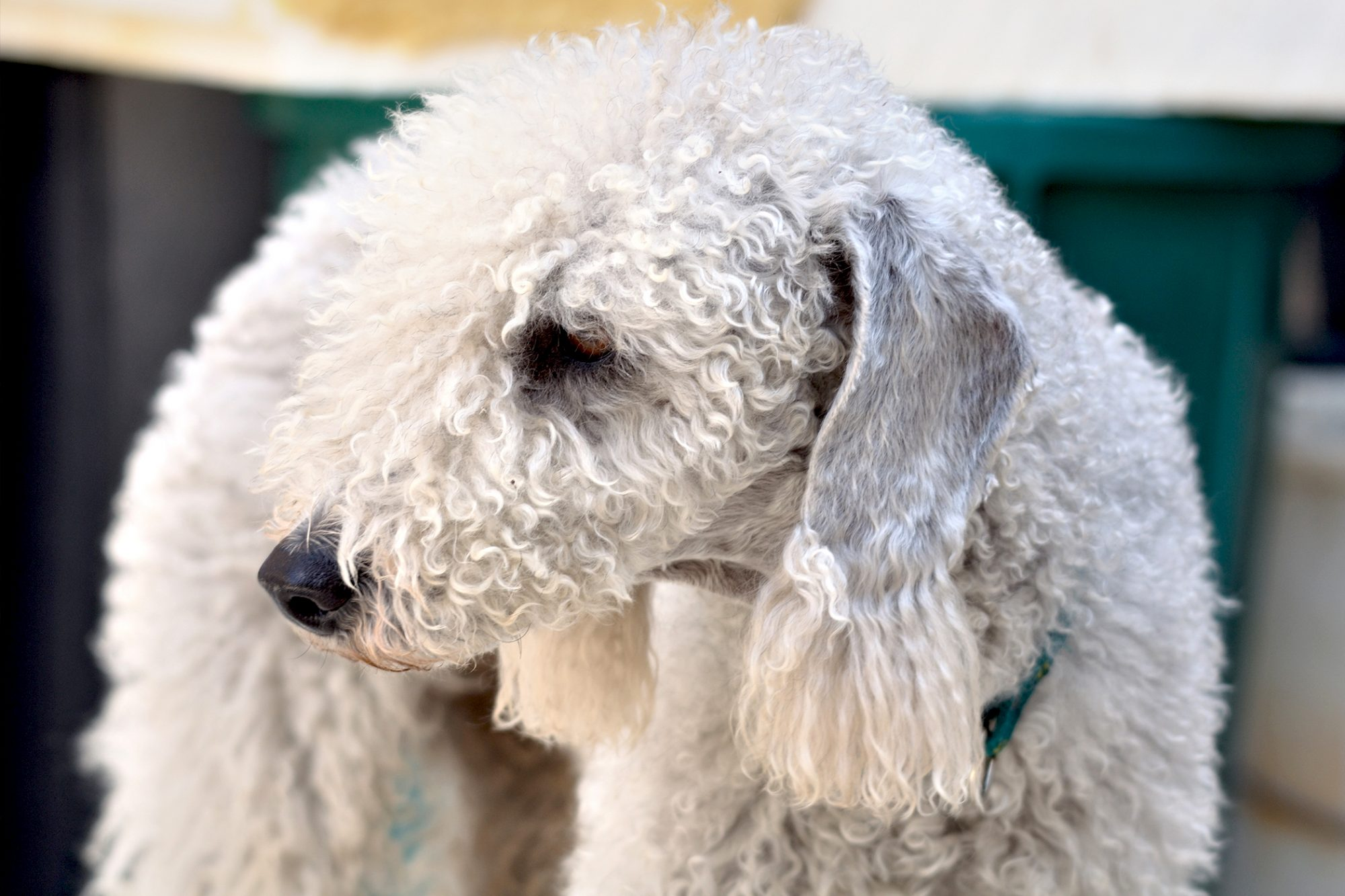 Close up of bedlington terrier, white and curly