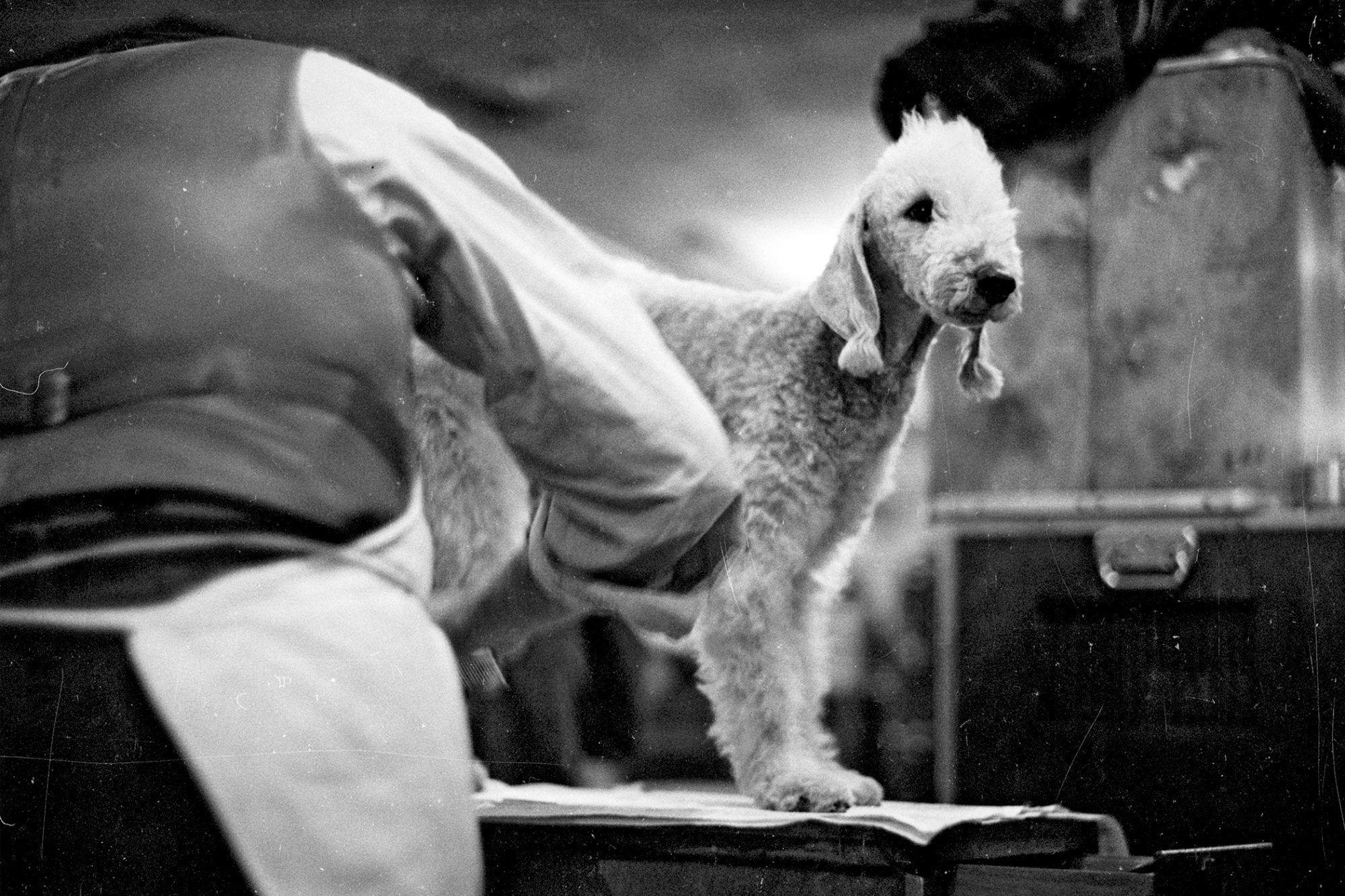Black and white photo of bedlington terrier being groomed