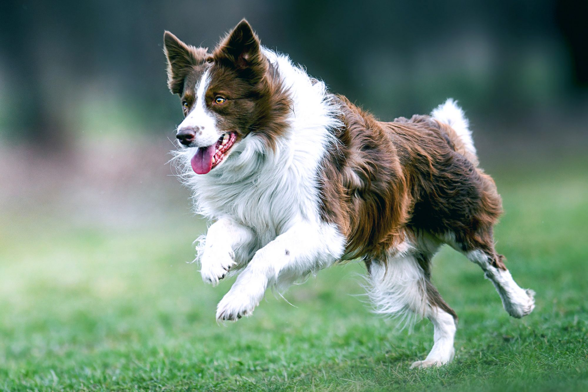 Brown and white border collie running