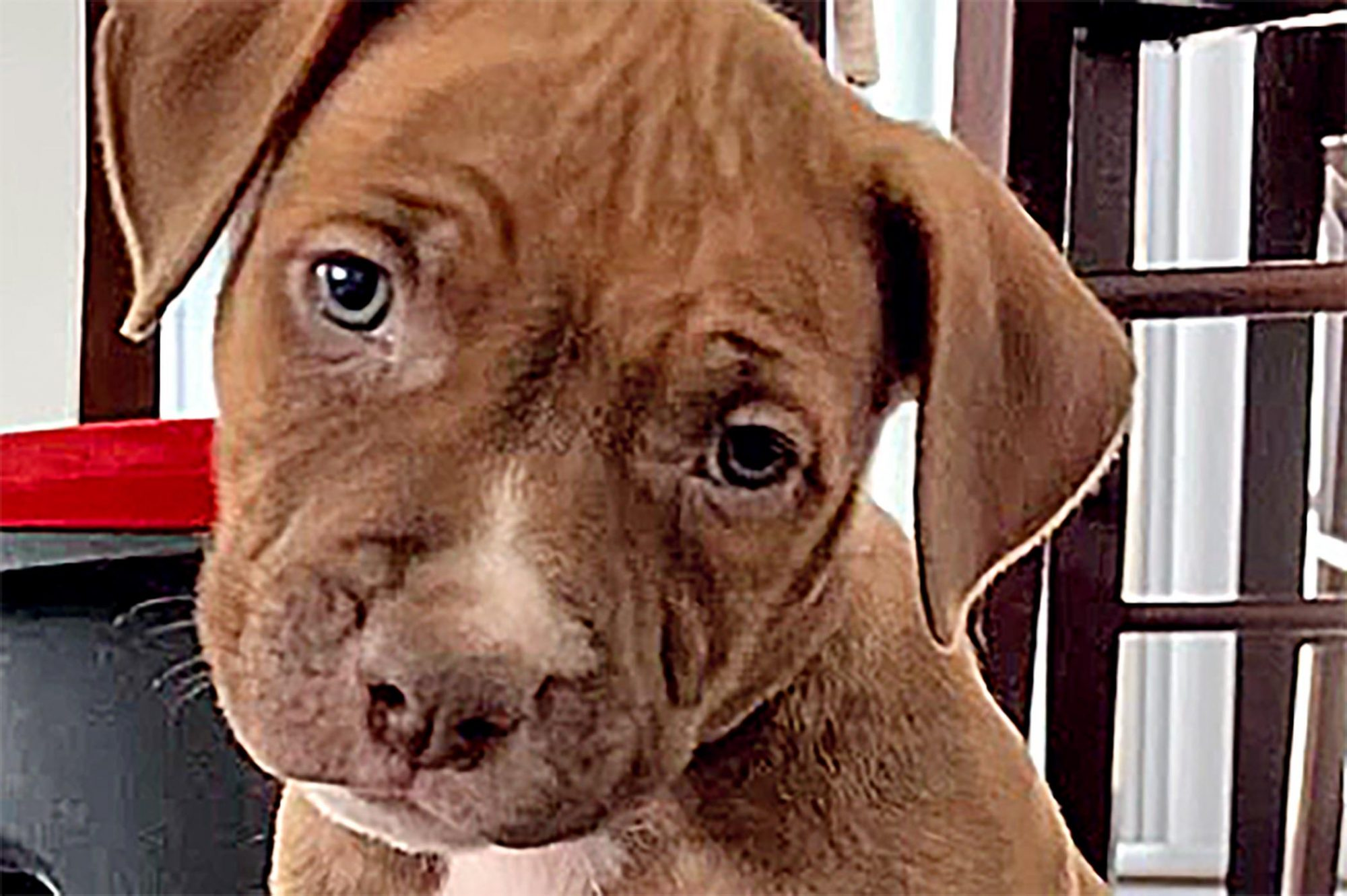 adorable brown pit bull puppy