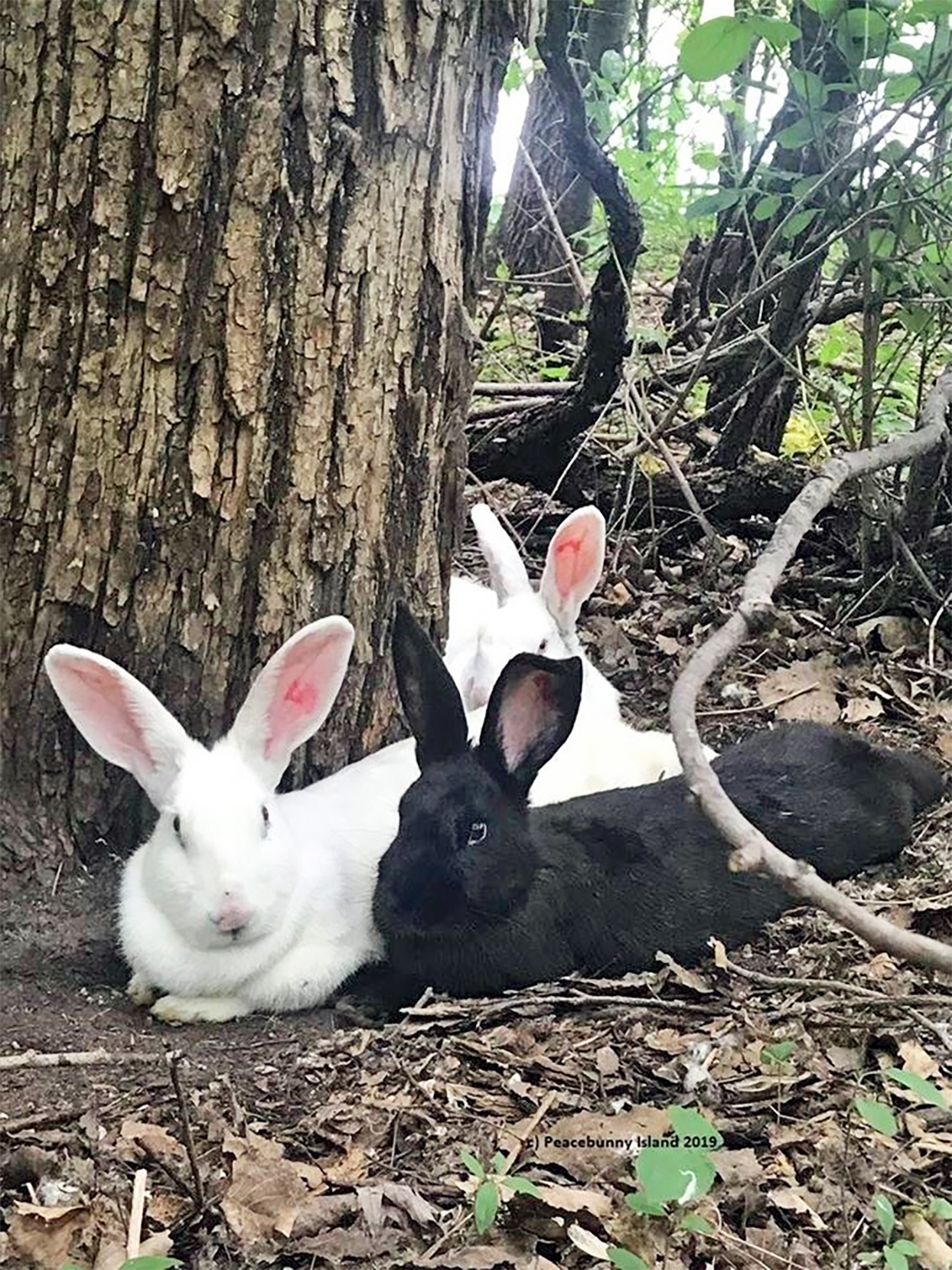Three bunnies laying in the woods near a large tree