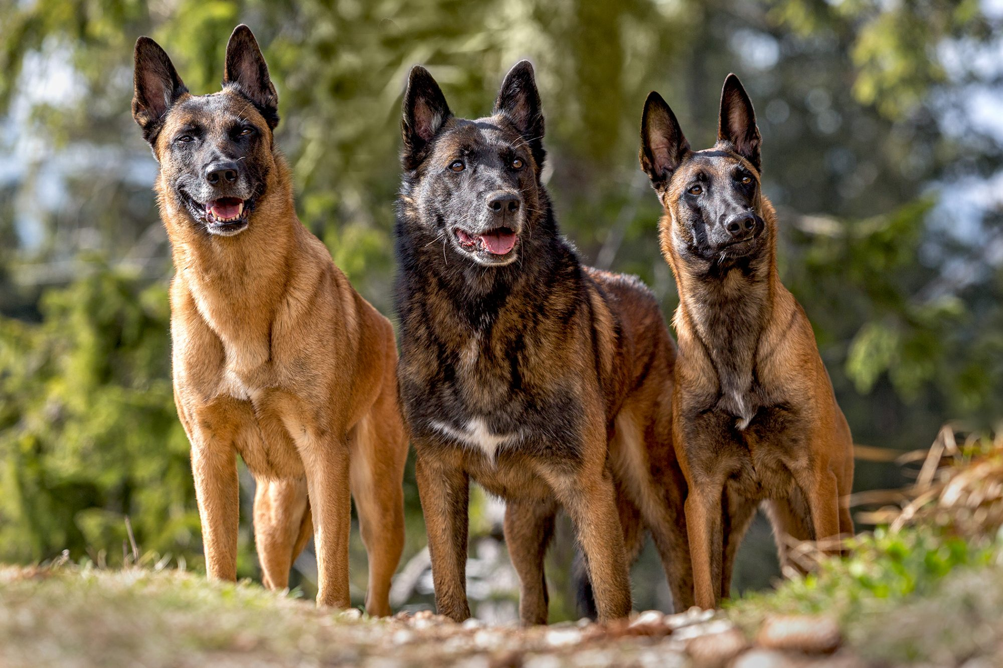 three Belgian Malinois standing in wooded area