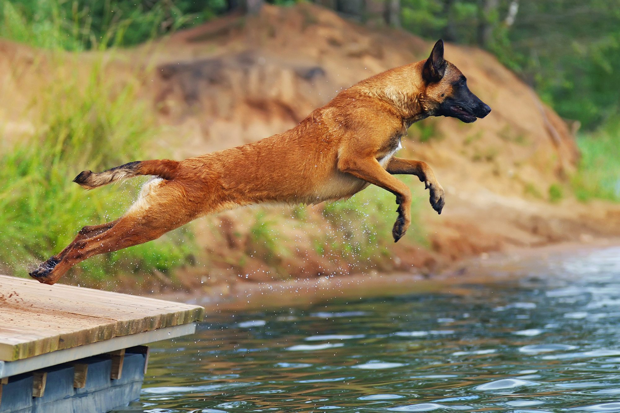 Belgian Malinois jumping off dock into water