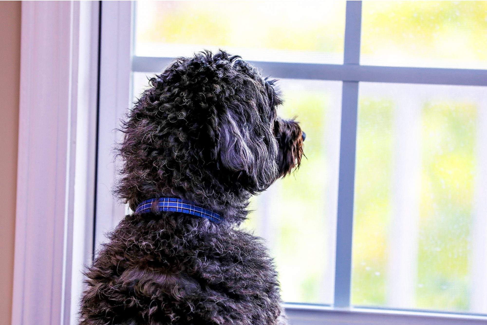 black Shih-poo looking out the window