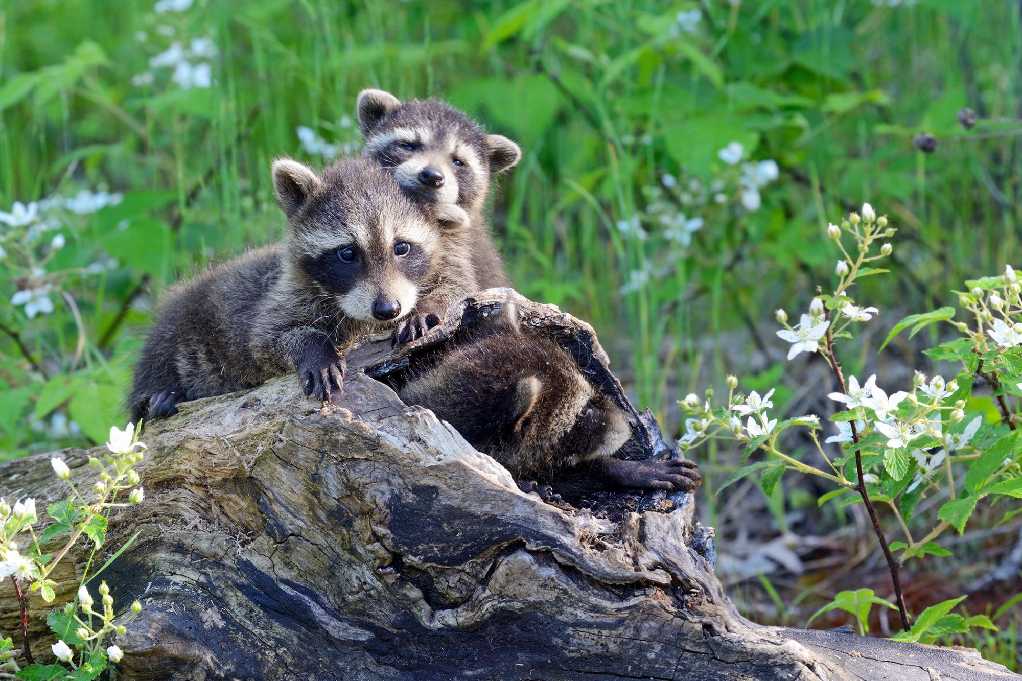 Two baby raccoons cuddle together on a log with third baby raccoon crawling out of log