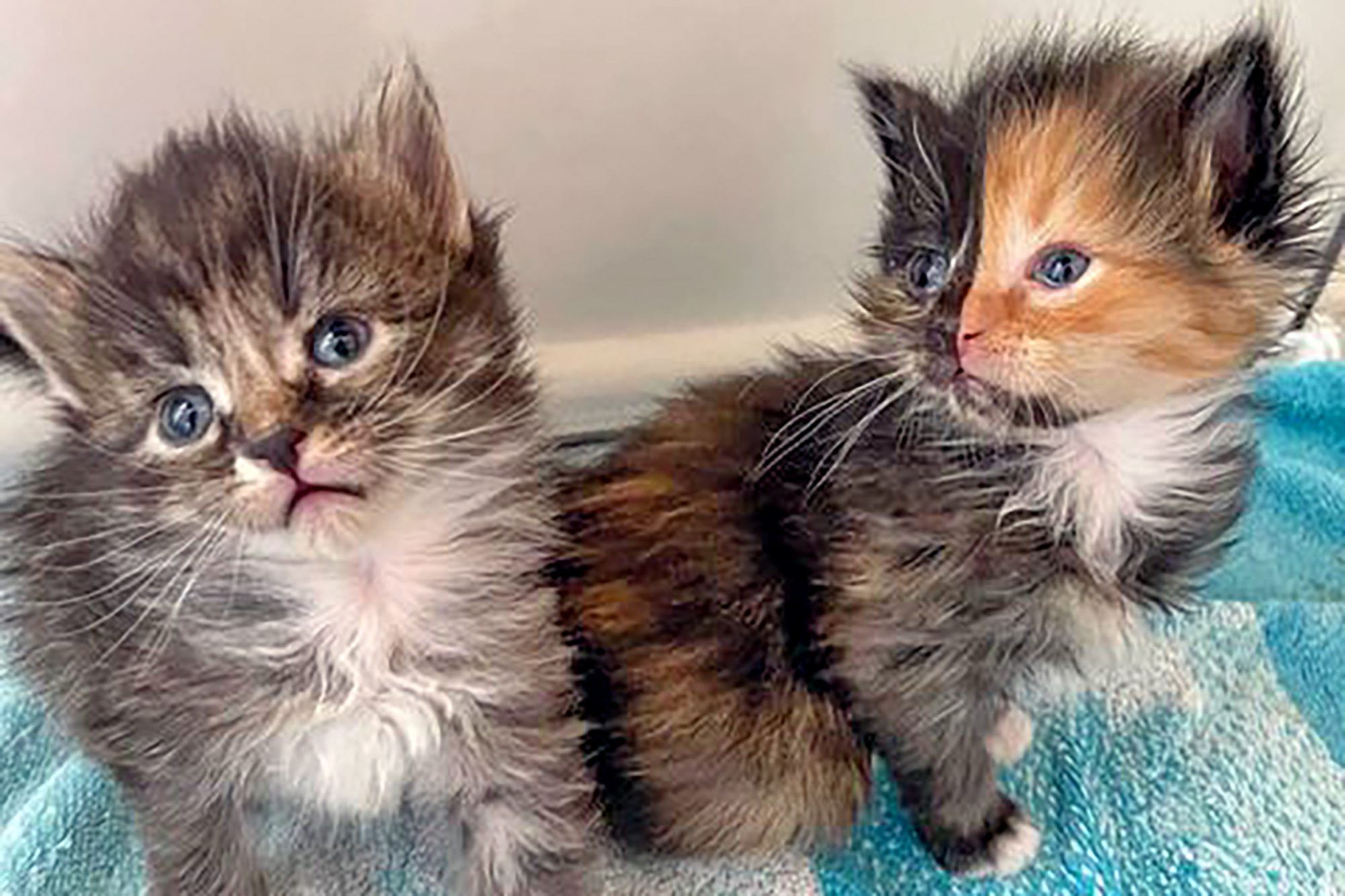 rare Chimera kittens, one with two-toned faced
