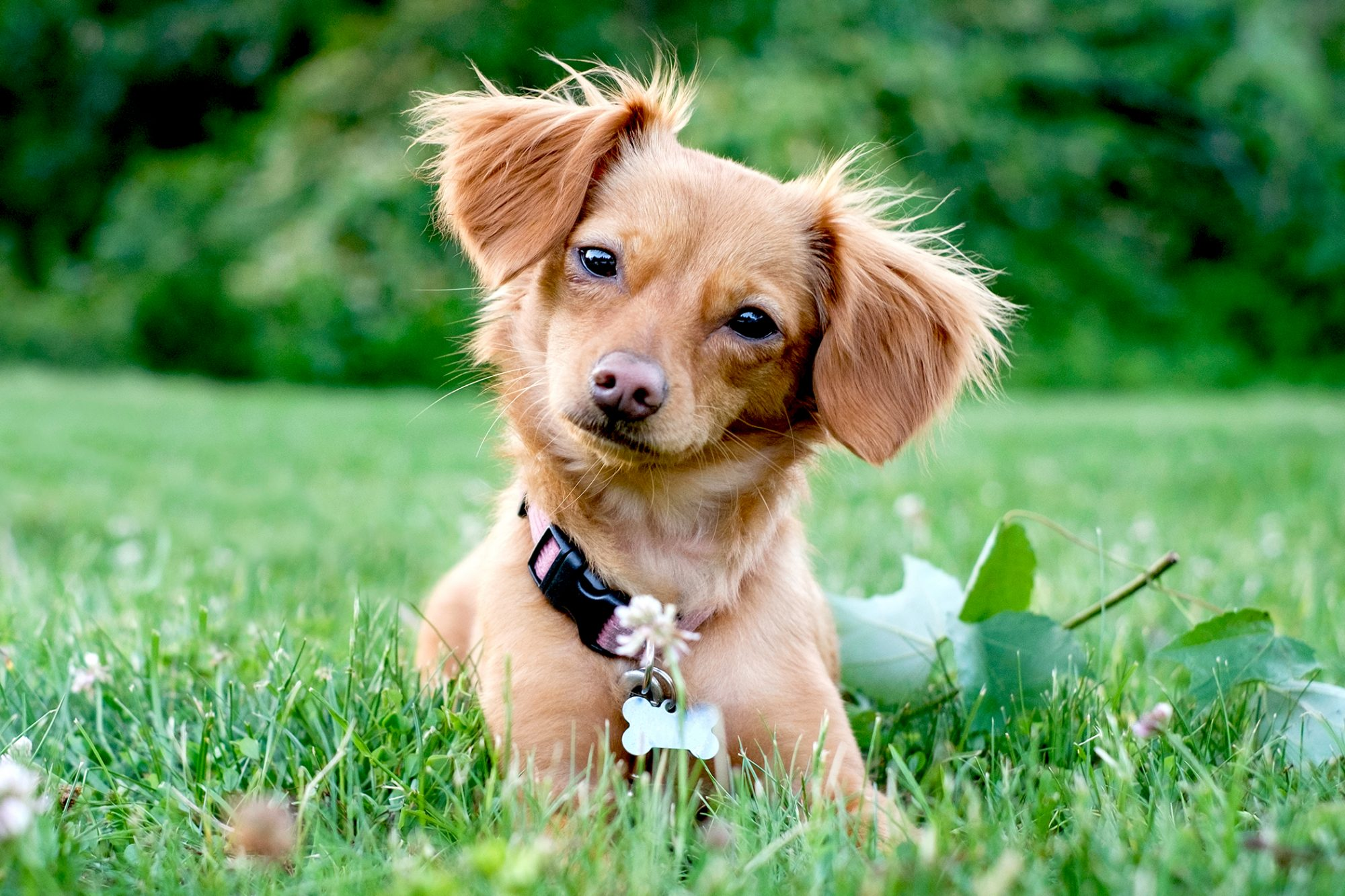 Young tan chiweenie lays in long grass and looks at the camera