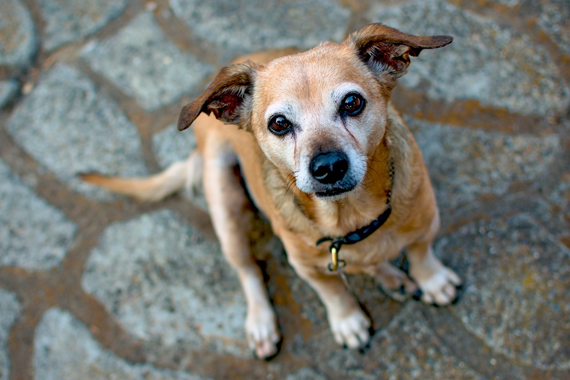 Blonde chiweenie dog sits on concrete and looks up at camera