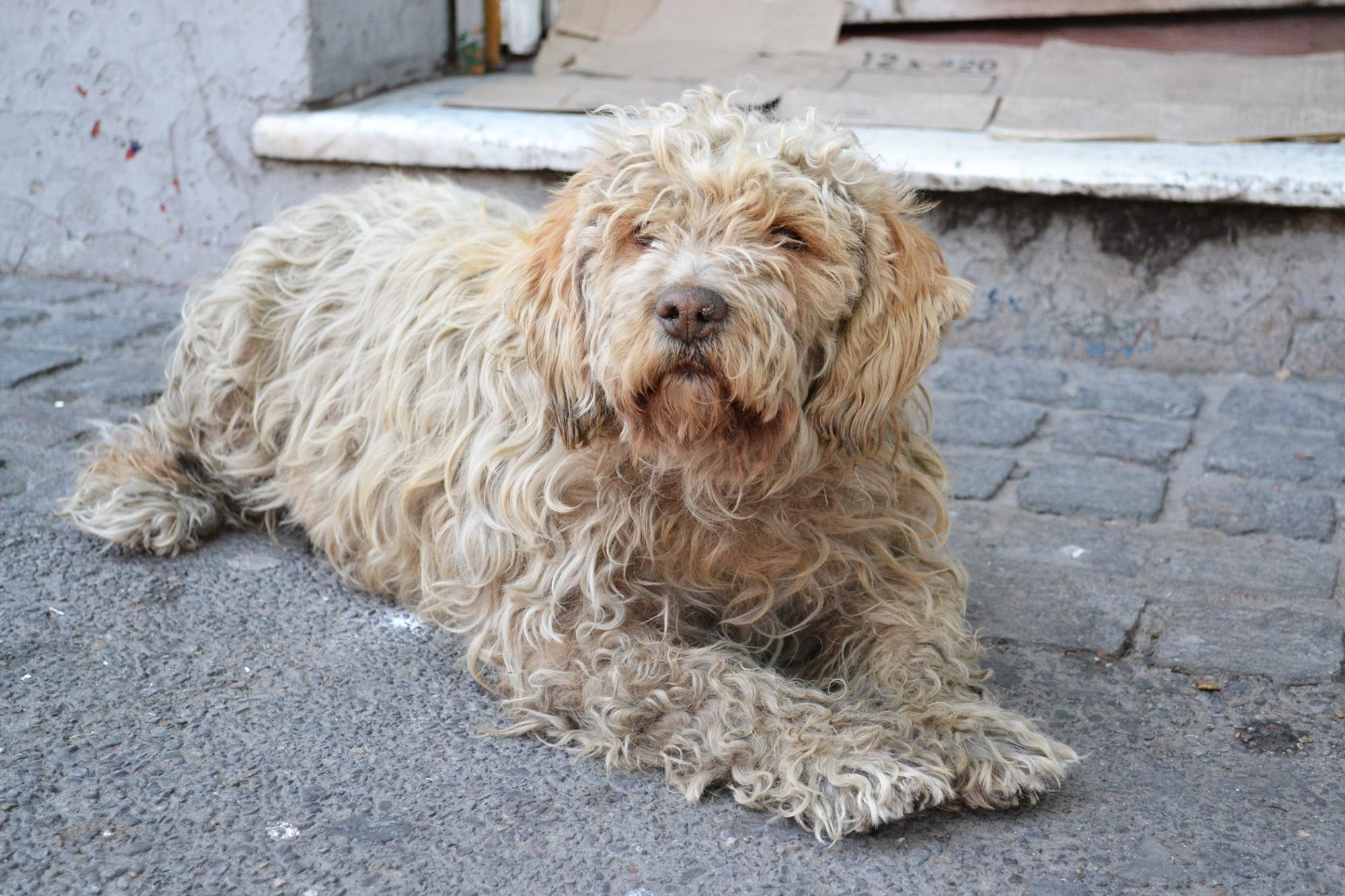 shaggy dog laying on sidewalk