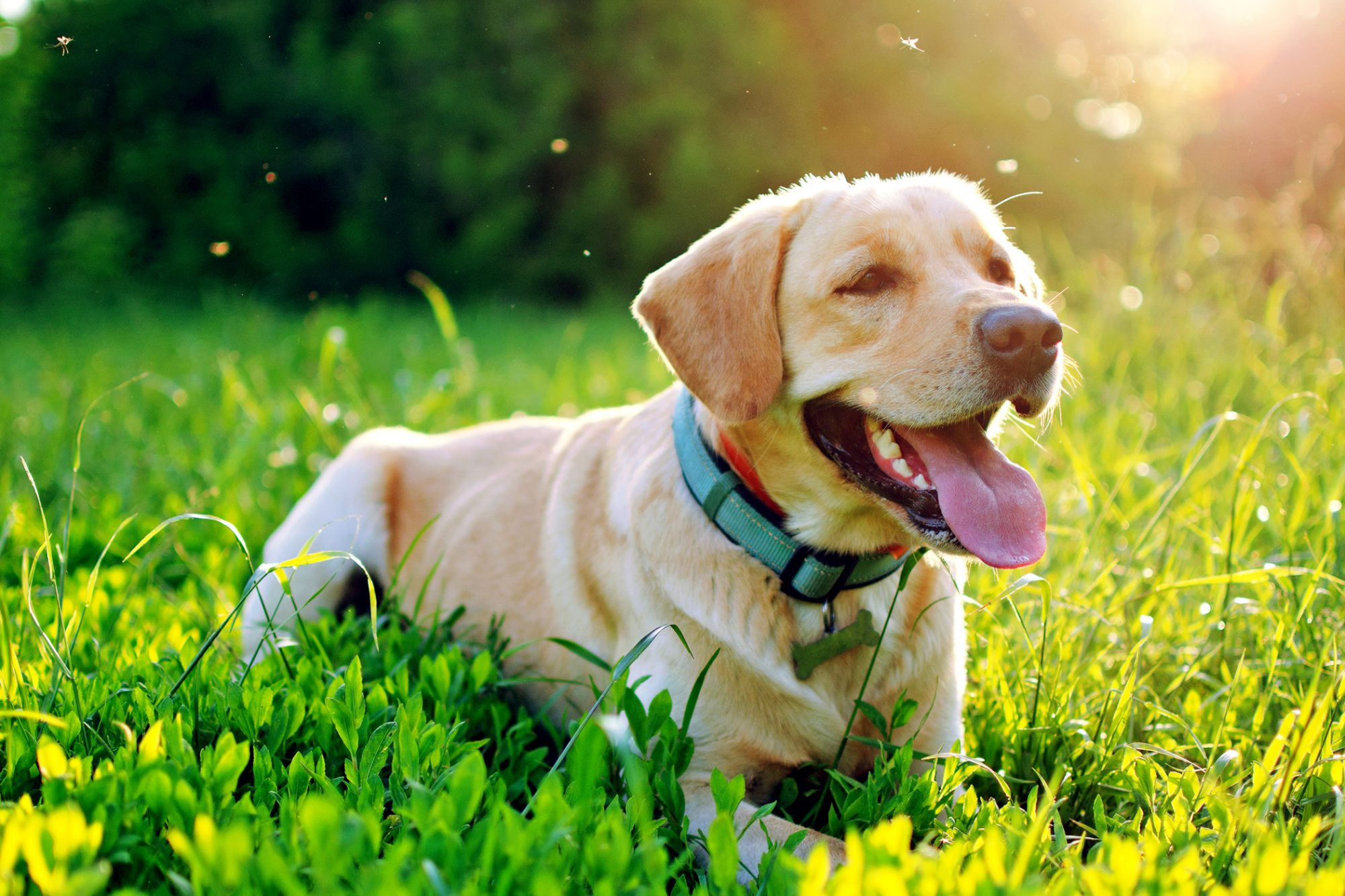 Yellow lab lays happily in long grass during golden hour